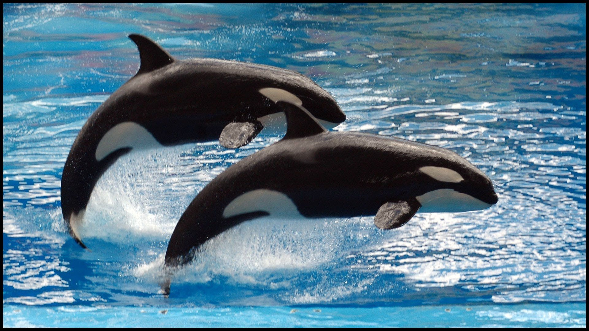Wallpapers Killer Whales
