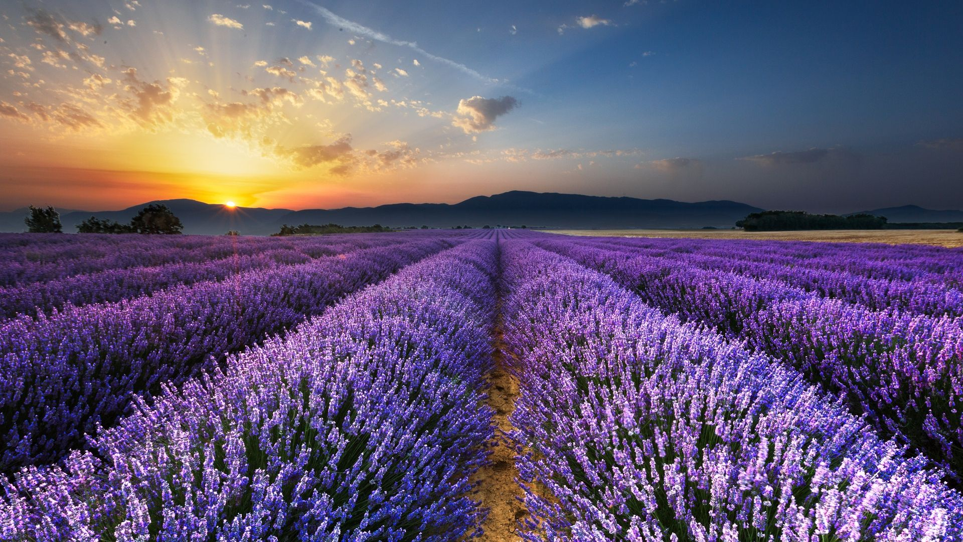 Wallpapers Lavender Field
