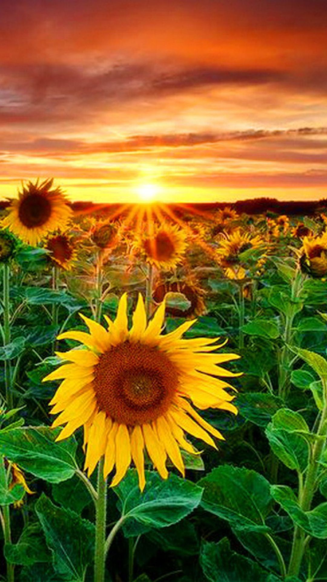 Wallpapers Sunflowers
