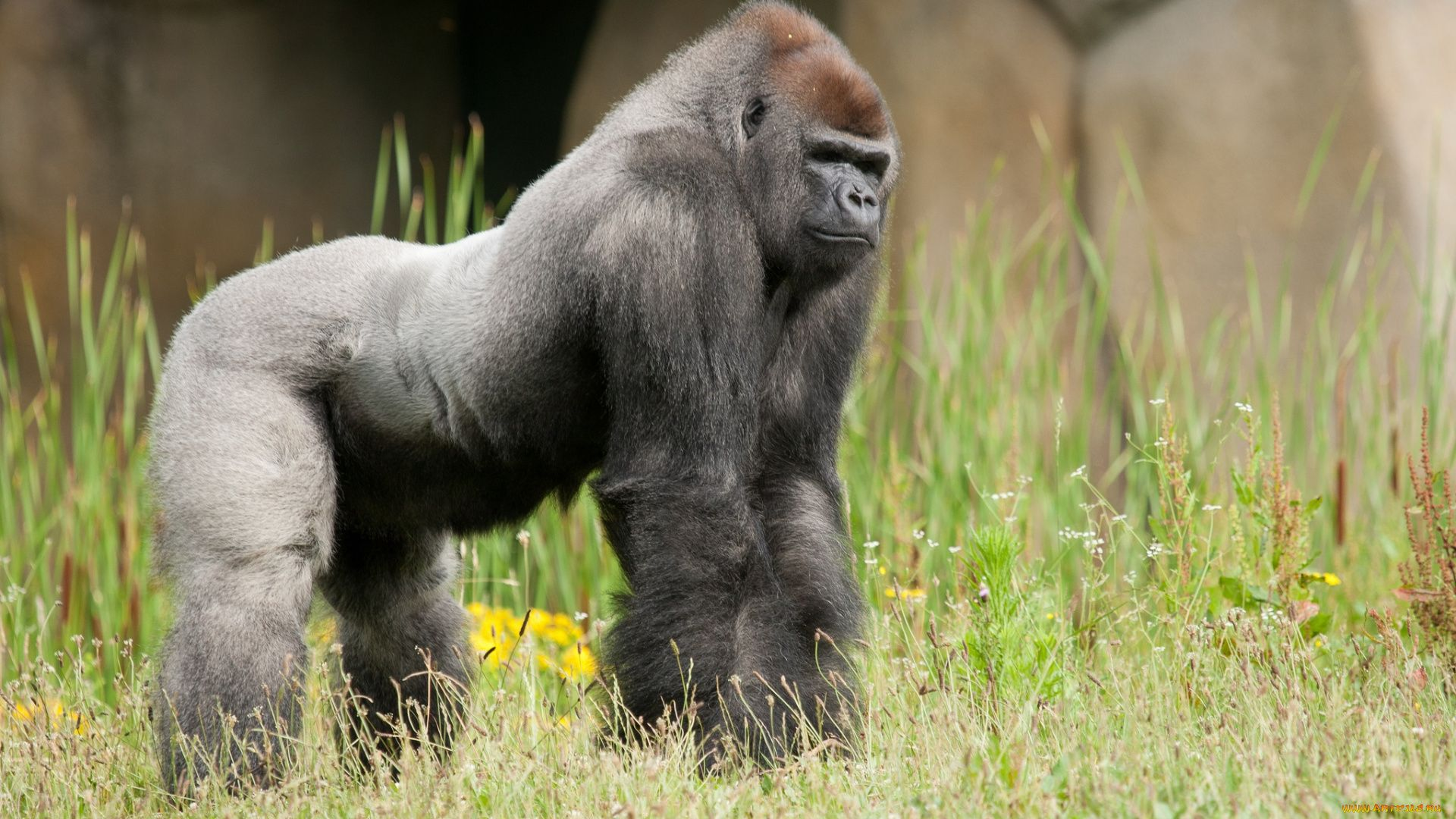 Western Gorilla Photo