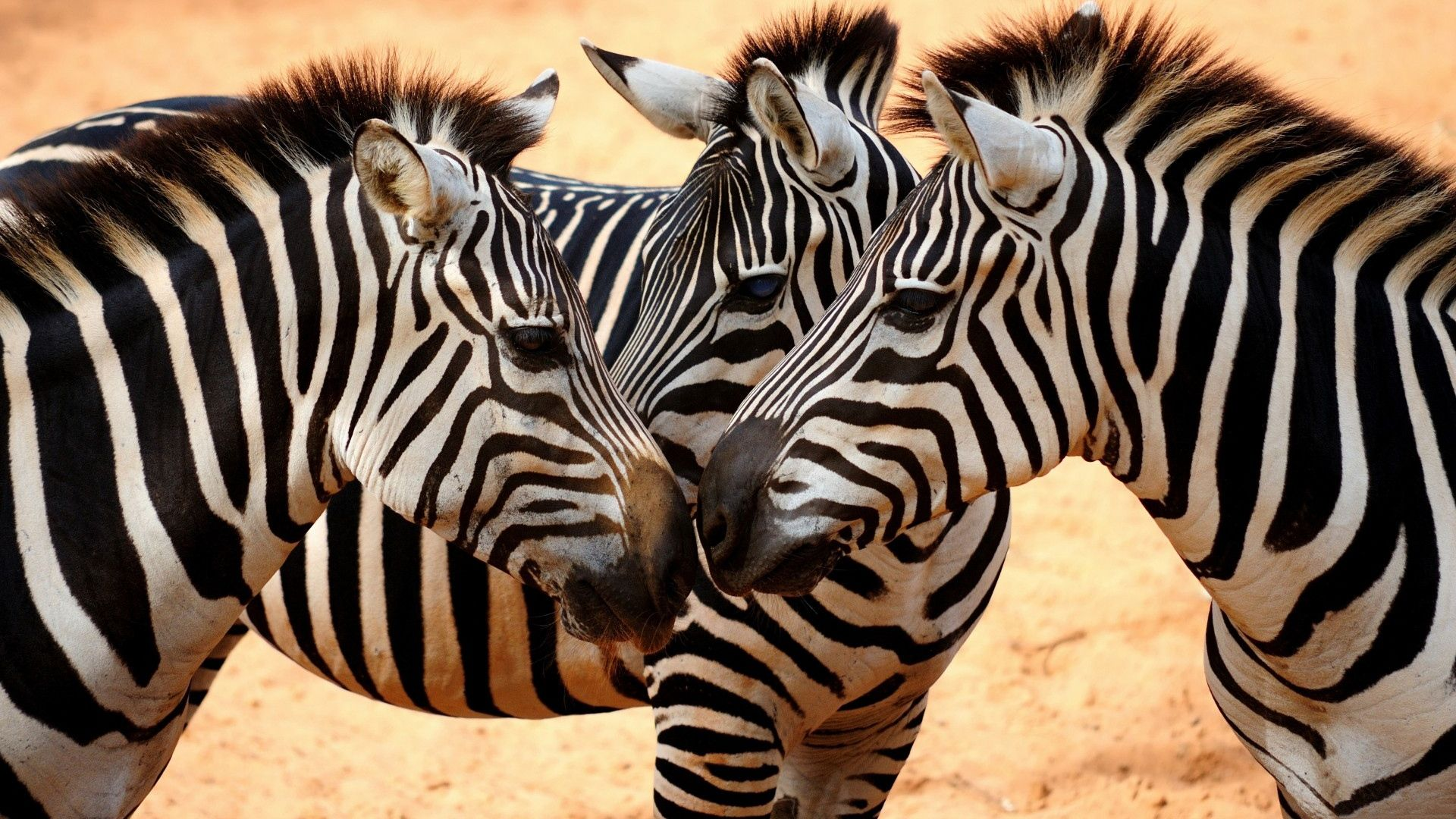 Zebra Animal Photos