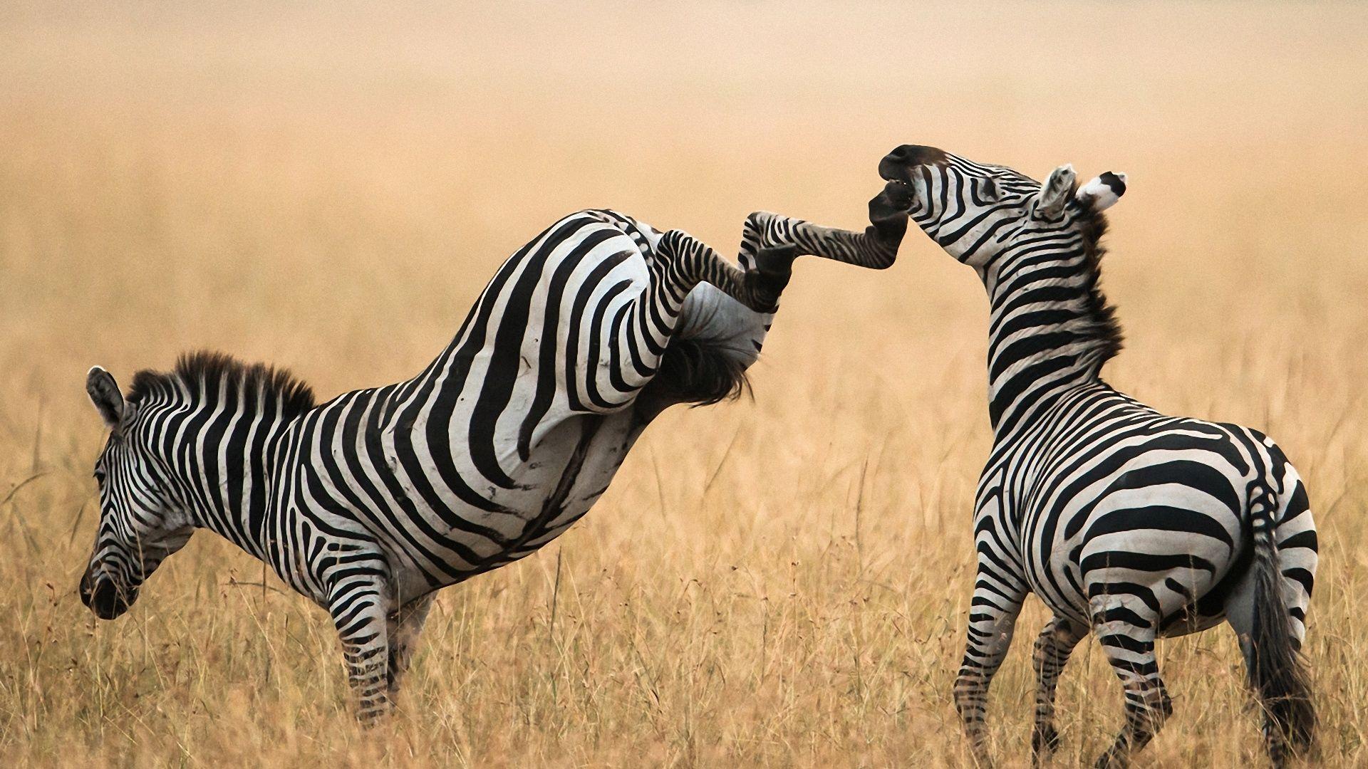 Zebra Beautiful Photo