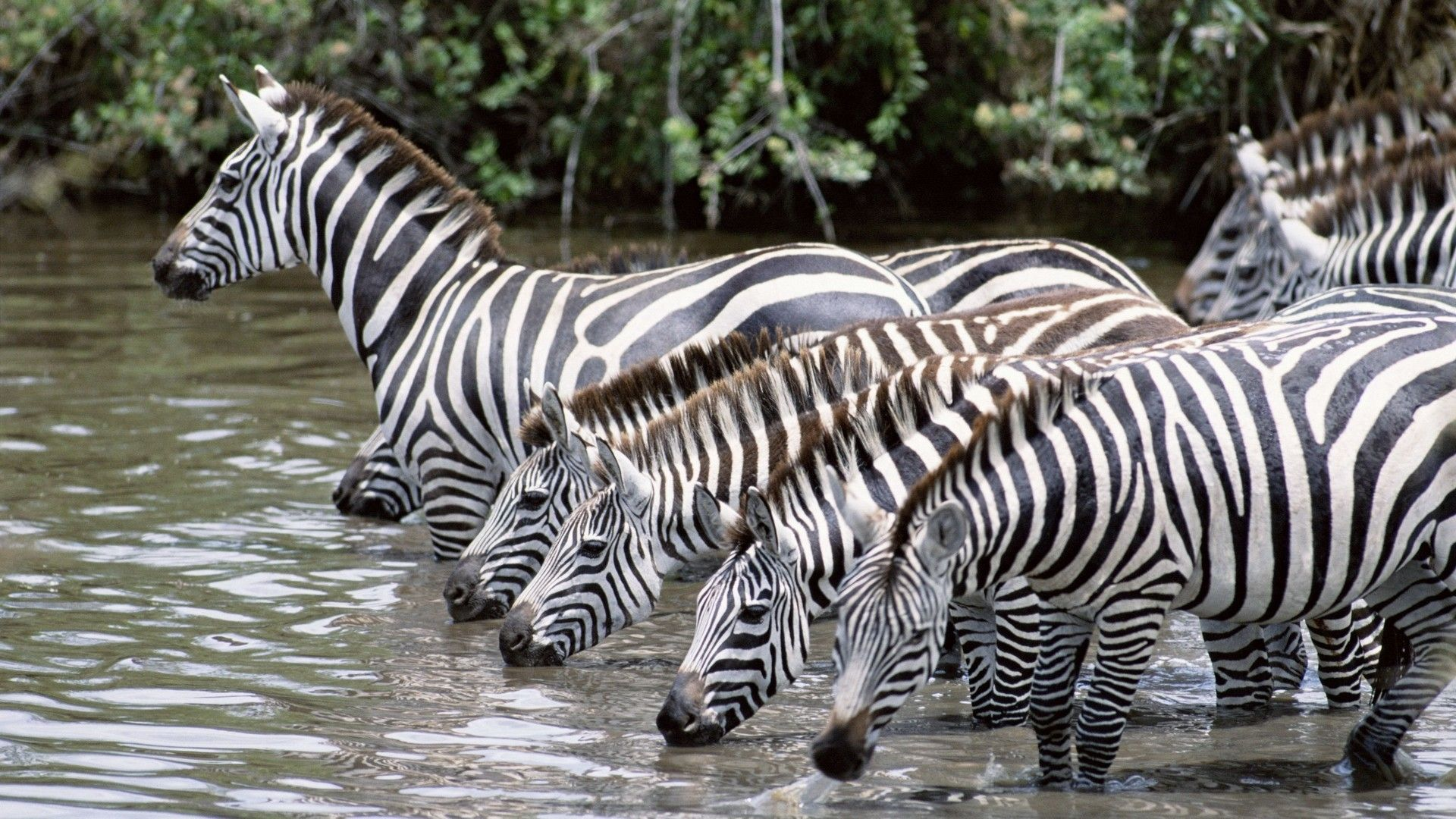 Zebra Drinking Water