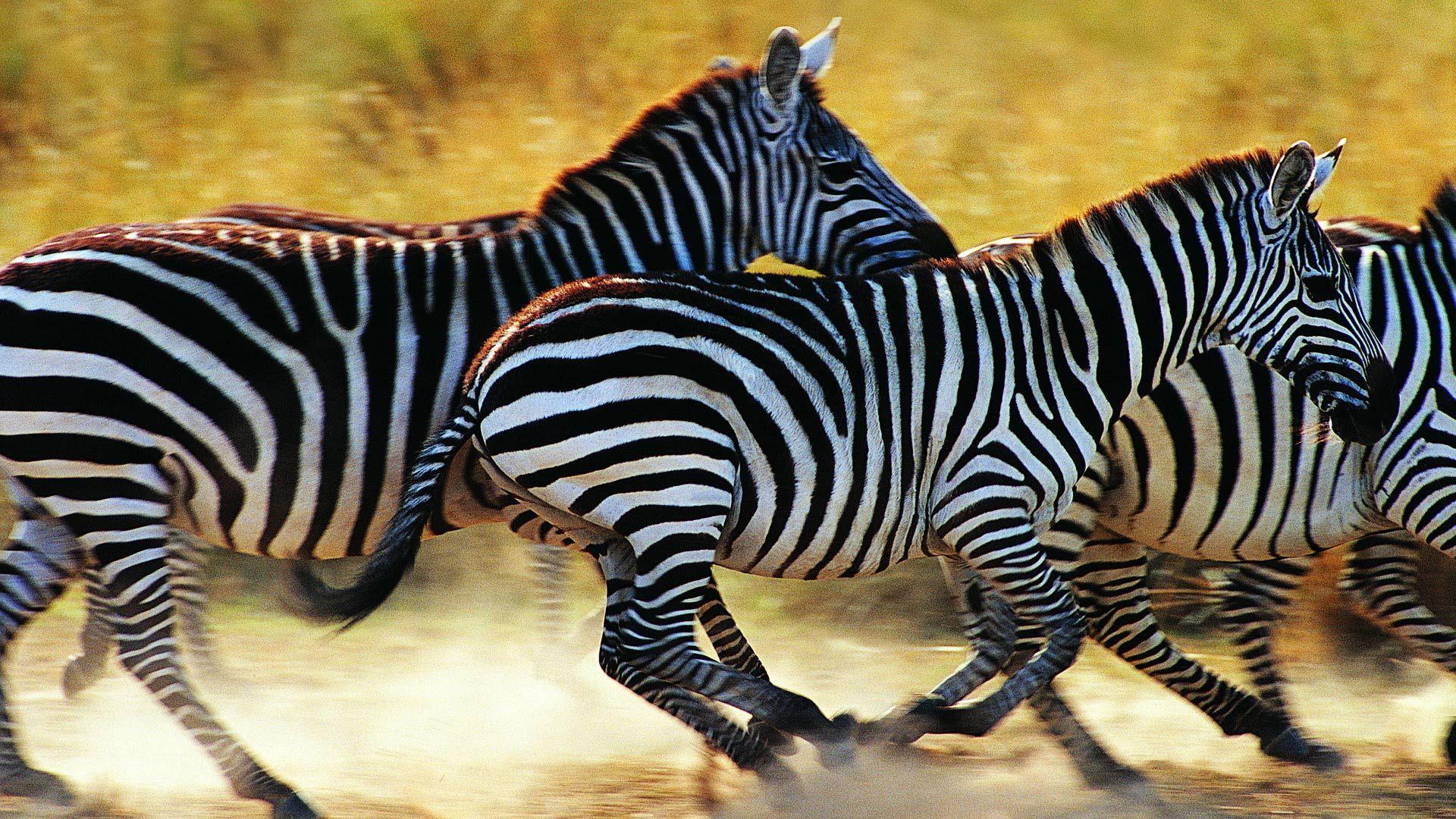 Zebra Photos Animal