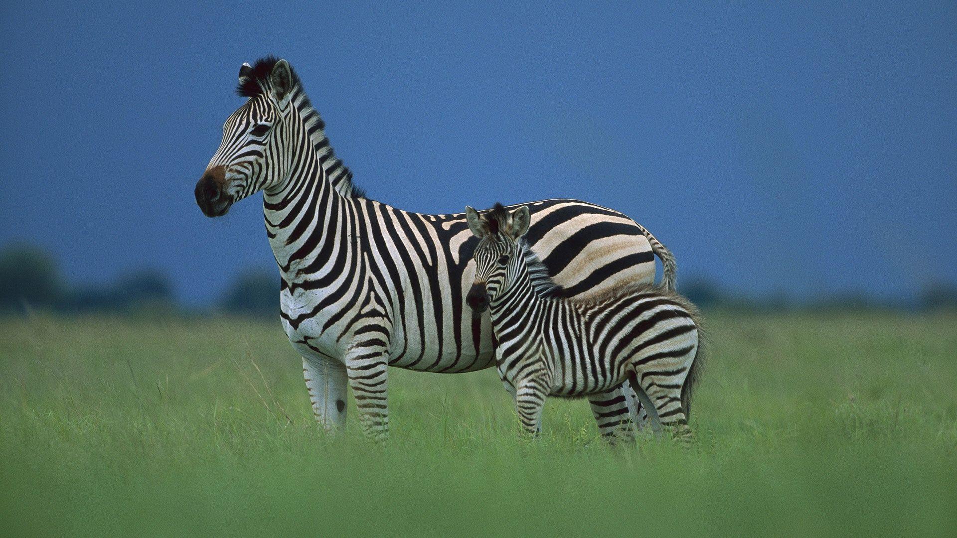 Zebra With A Baby Photo