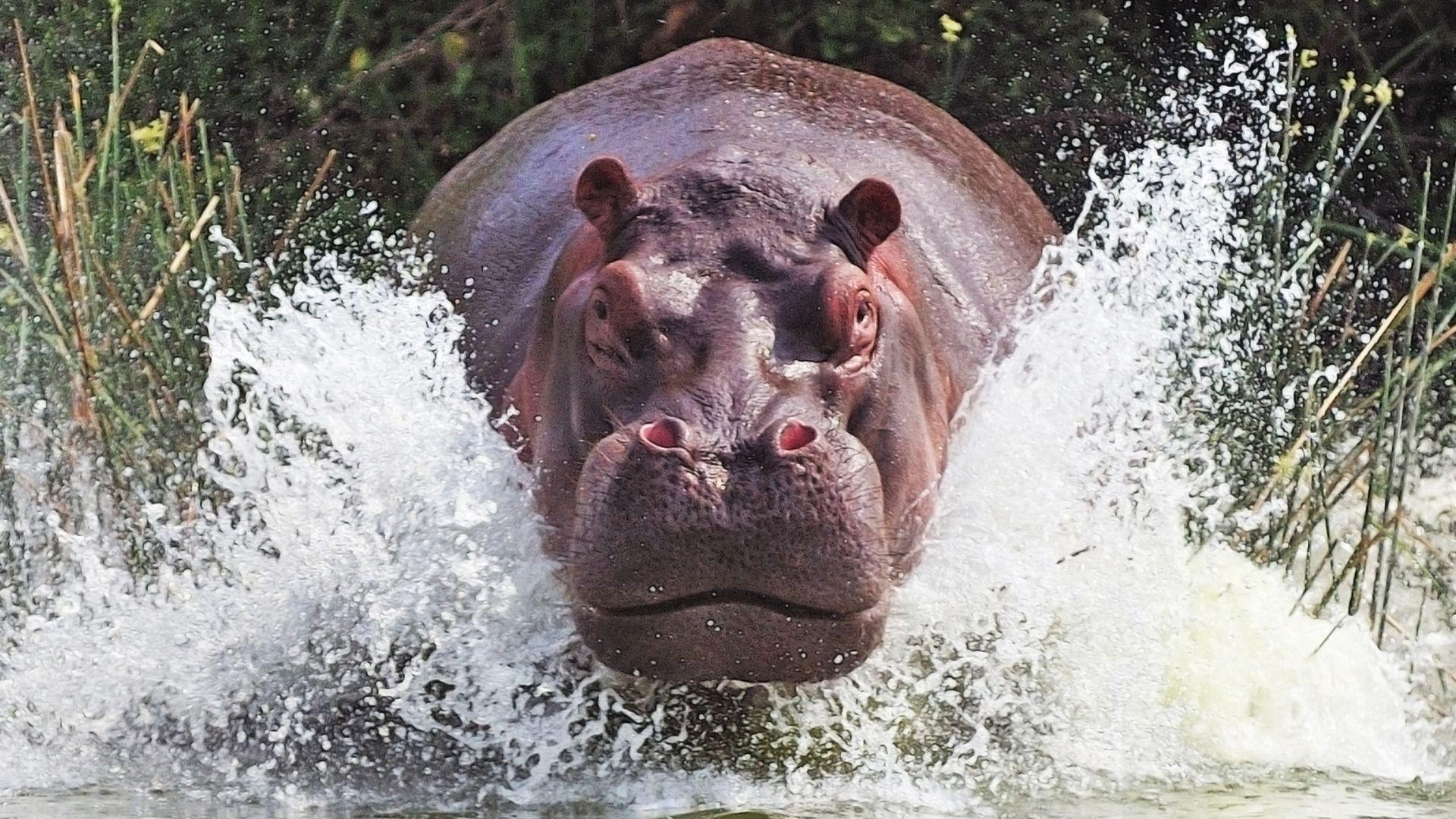 A Hippo In Africa