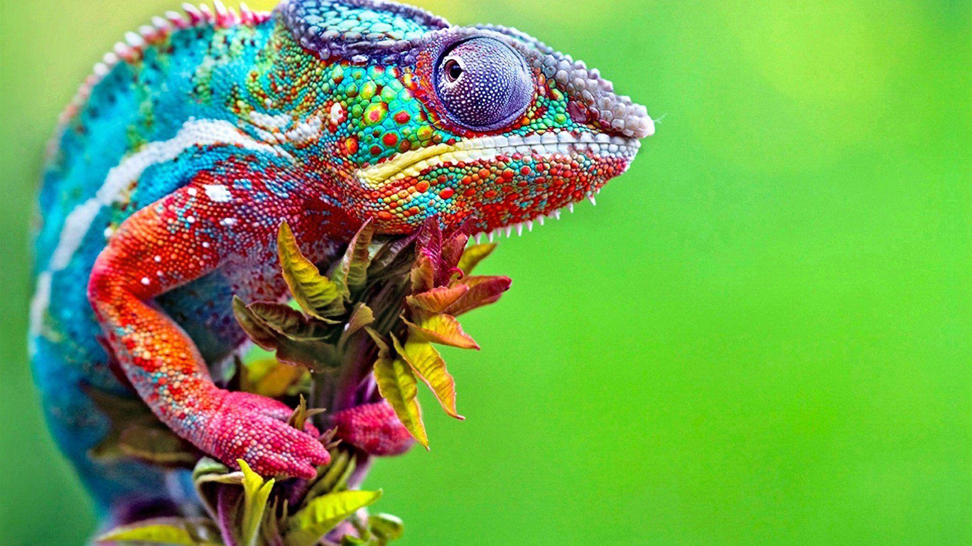 A Chameleon Changes Color