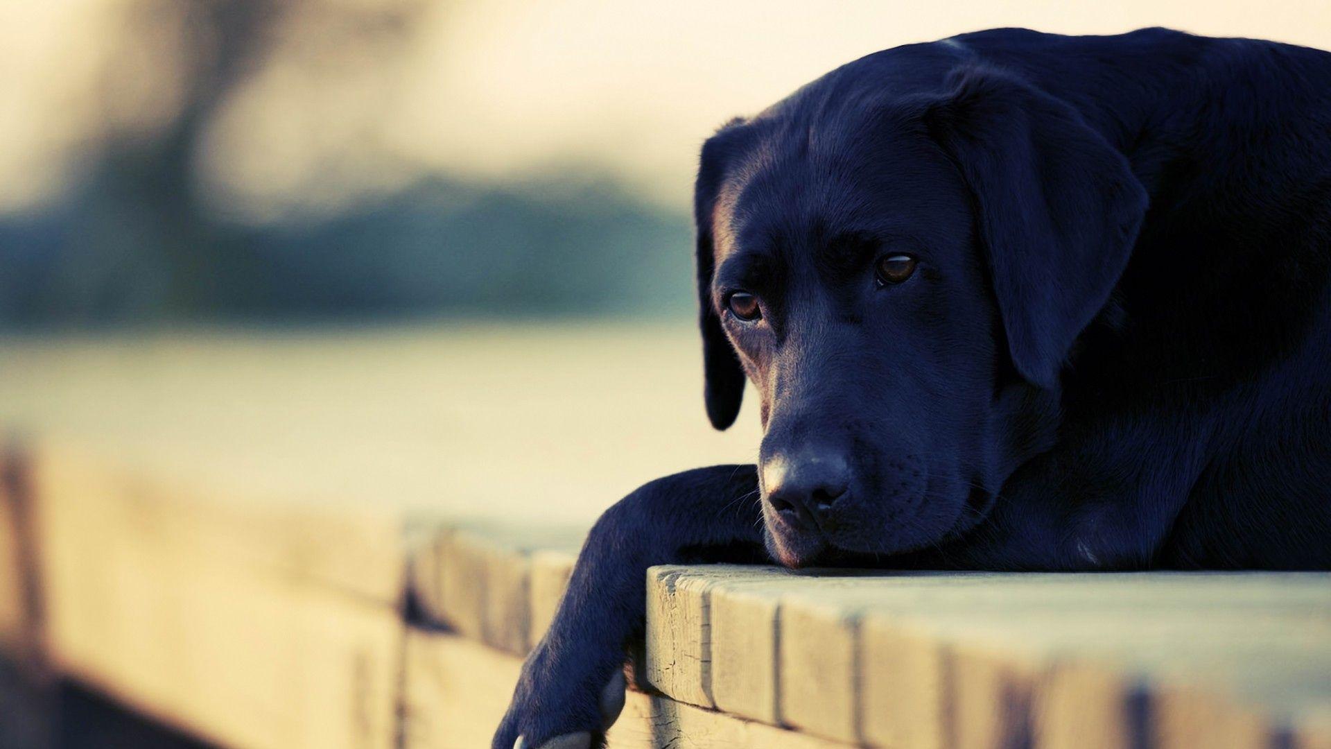 A Desktop Wallpaper Of Labrador Black