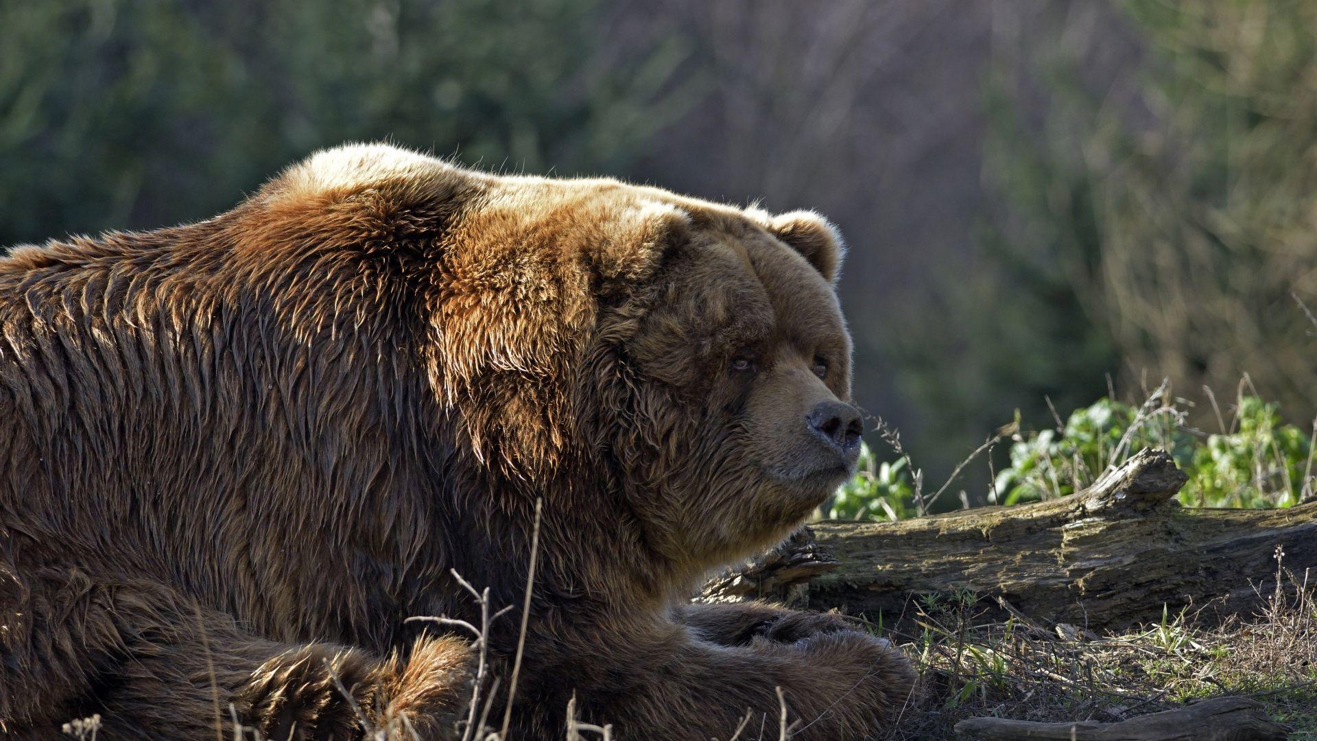 A Fat Brown Bear