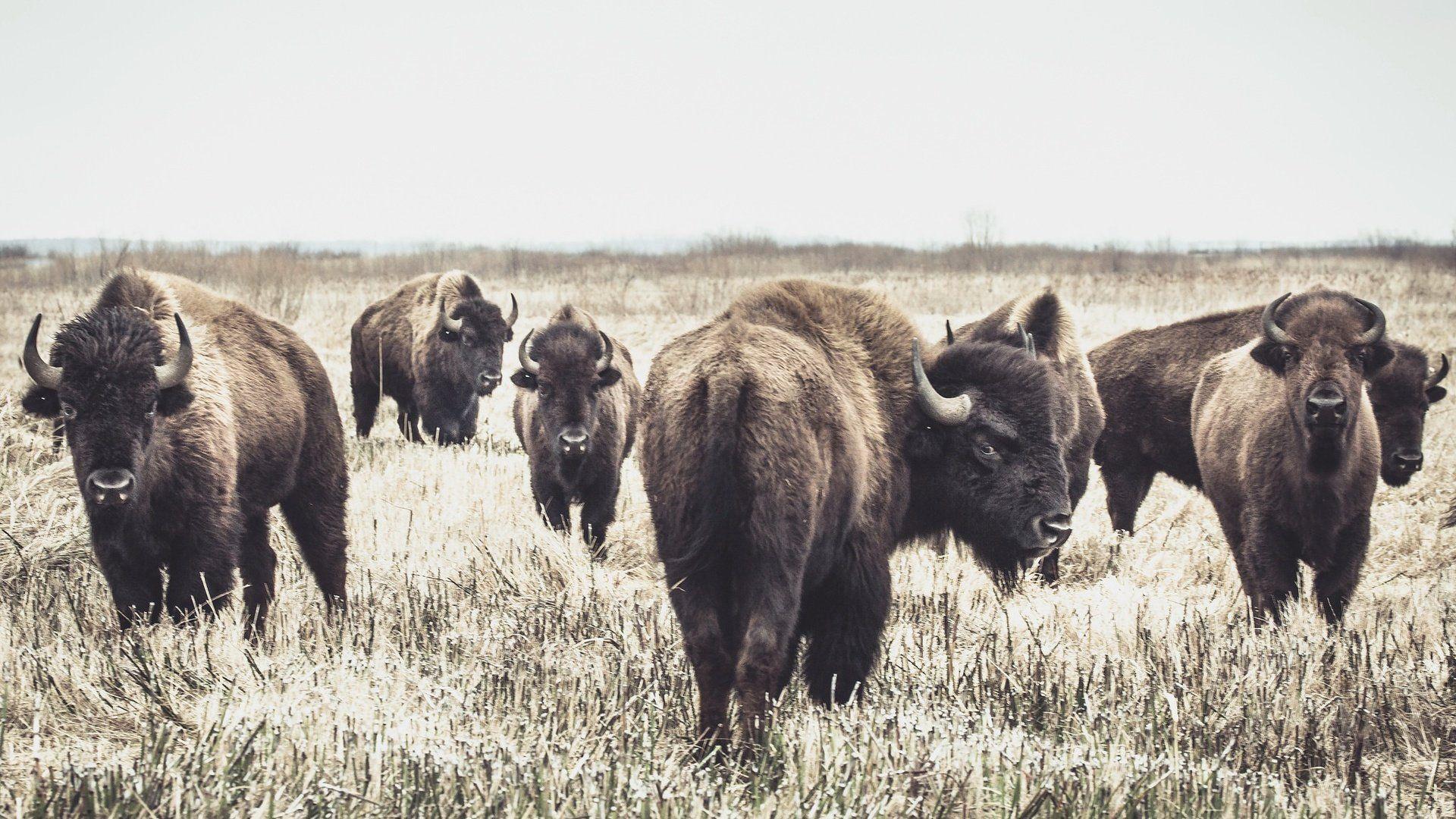 A Herd Of Buffalo Buffalo