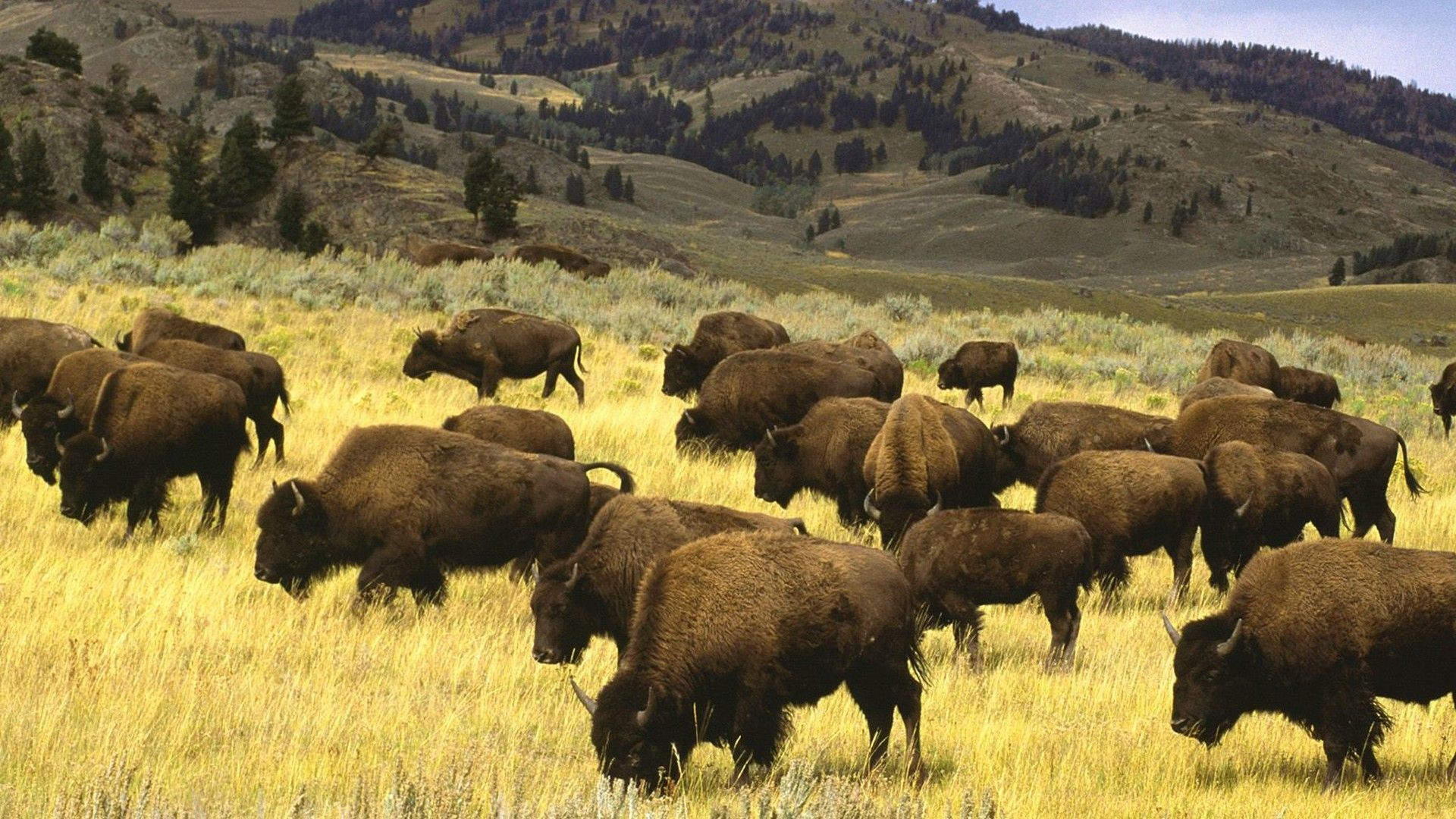 A Herd Of Bison Photo
