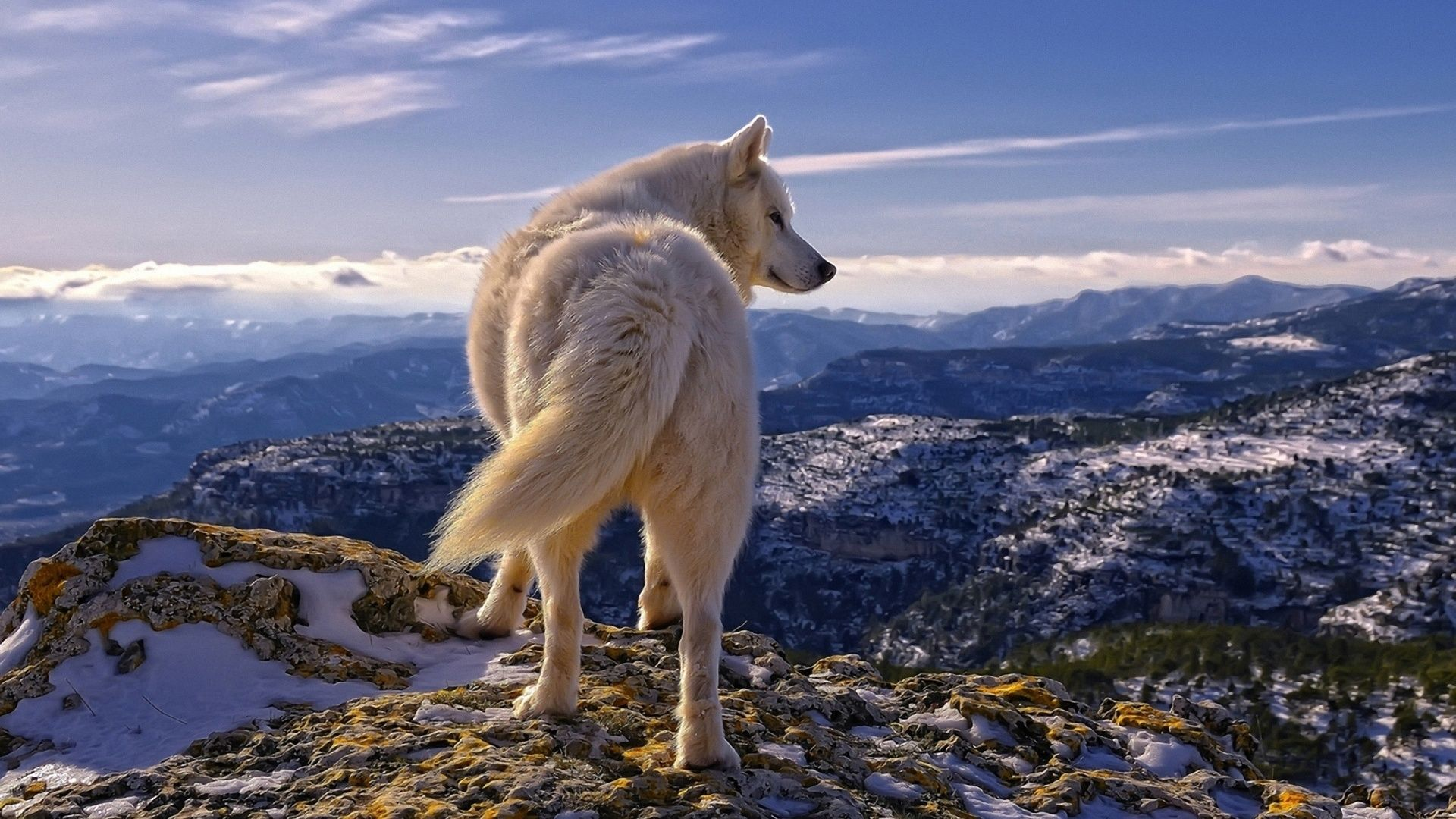 A Lone White Wolf