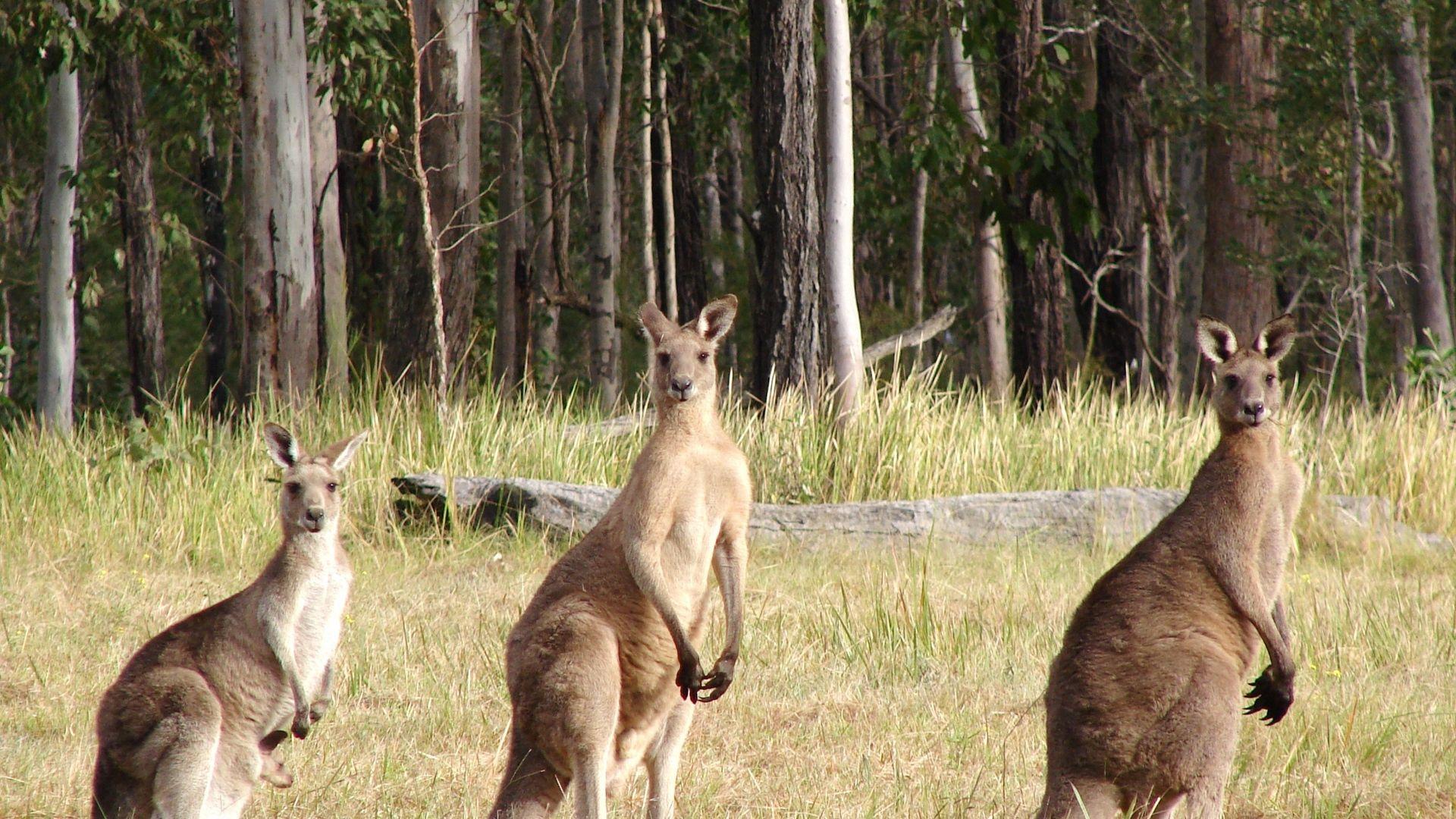 A Pack Of Kangaroos