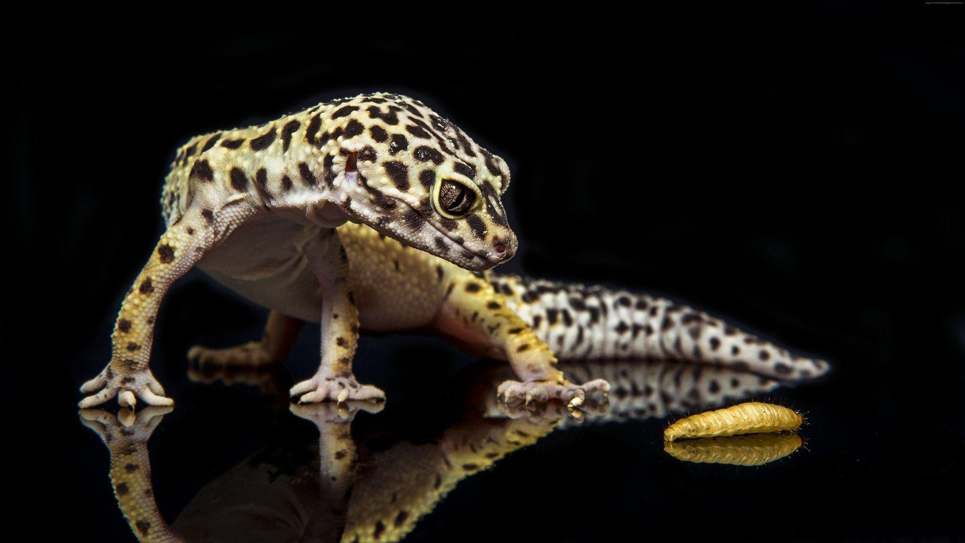 Ablefor Leopard Gecko