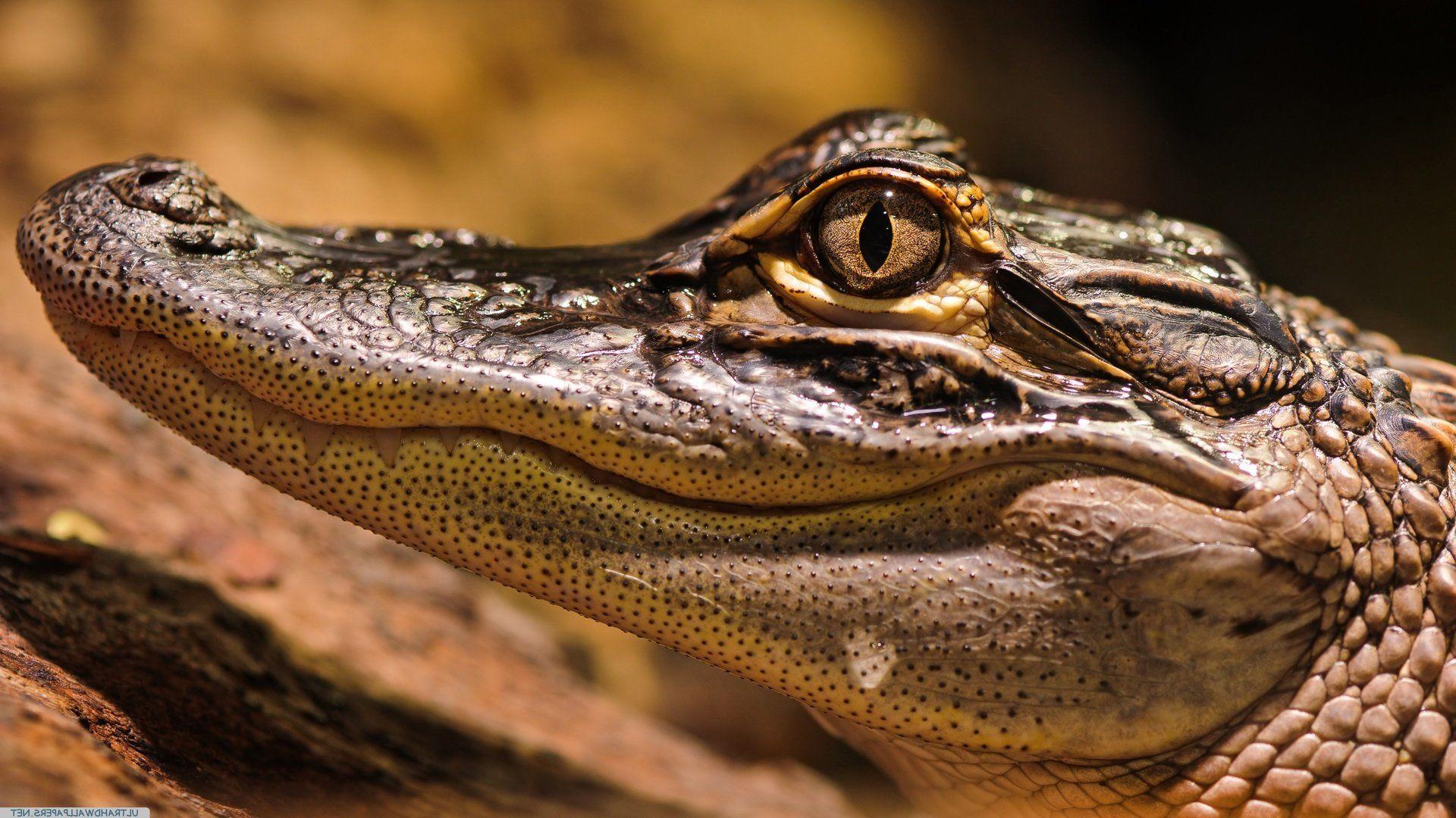 Alligator Eyes Pictures