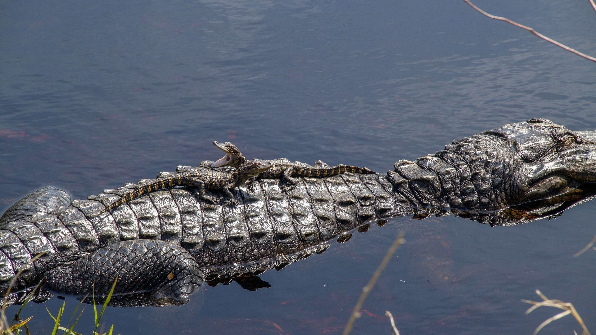 Alligator In The Water Pictures