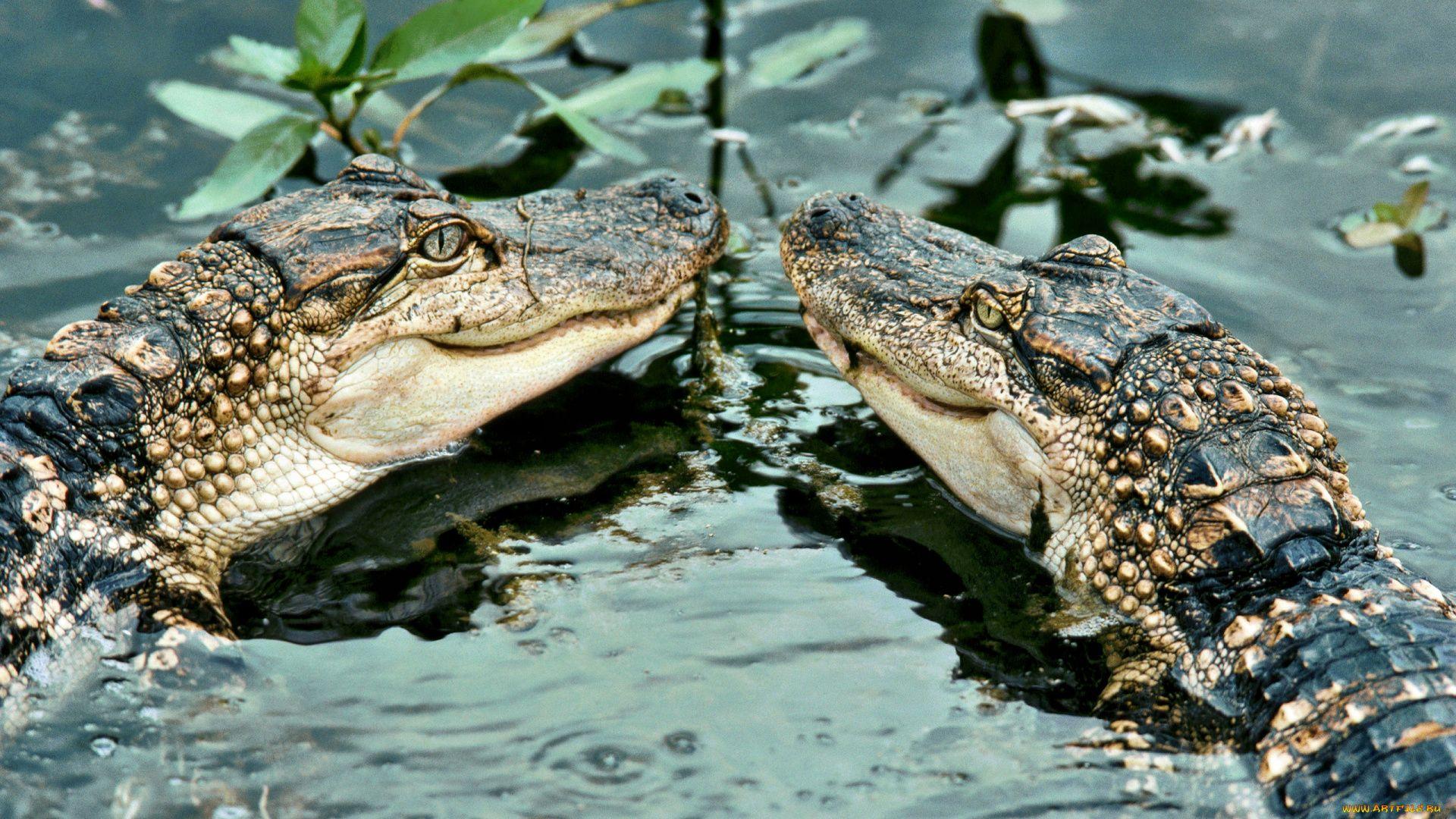 Alligator Mississippiensis (alligator Mississippiensis
