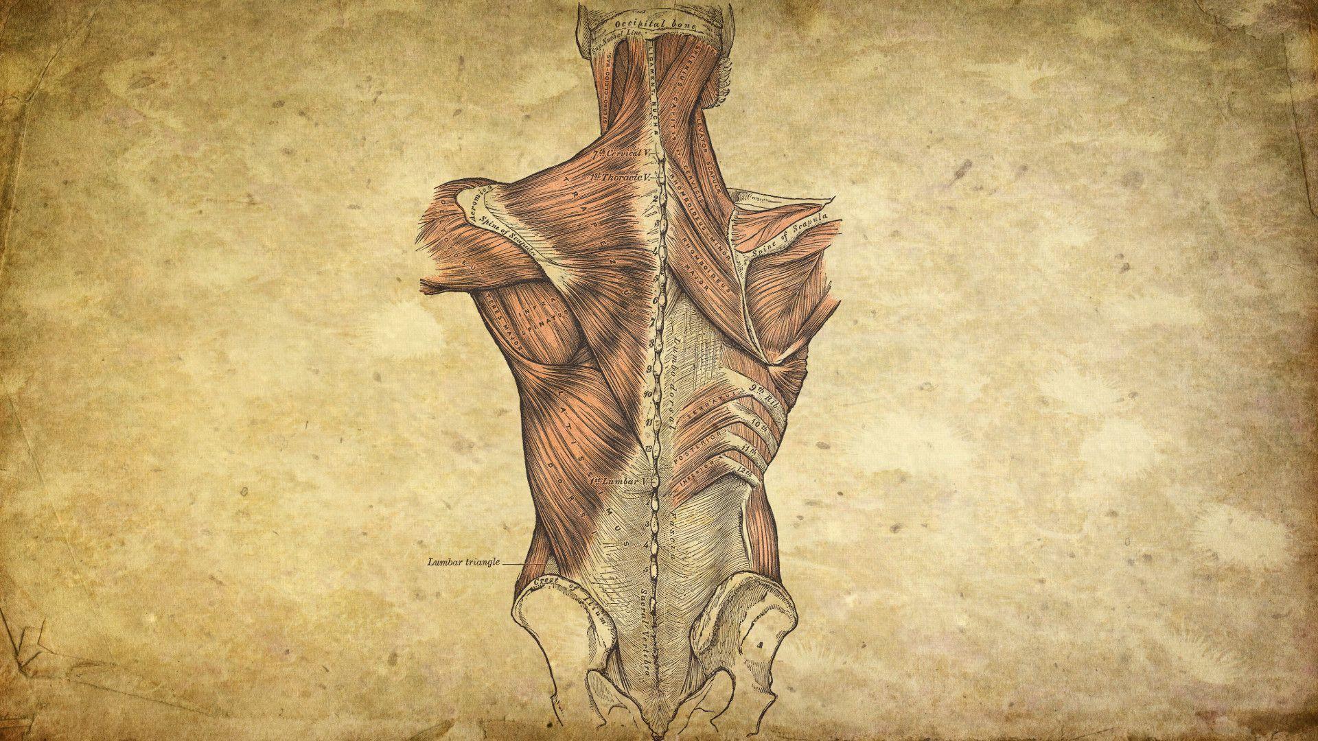 Anatomical Wallpaper