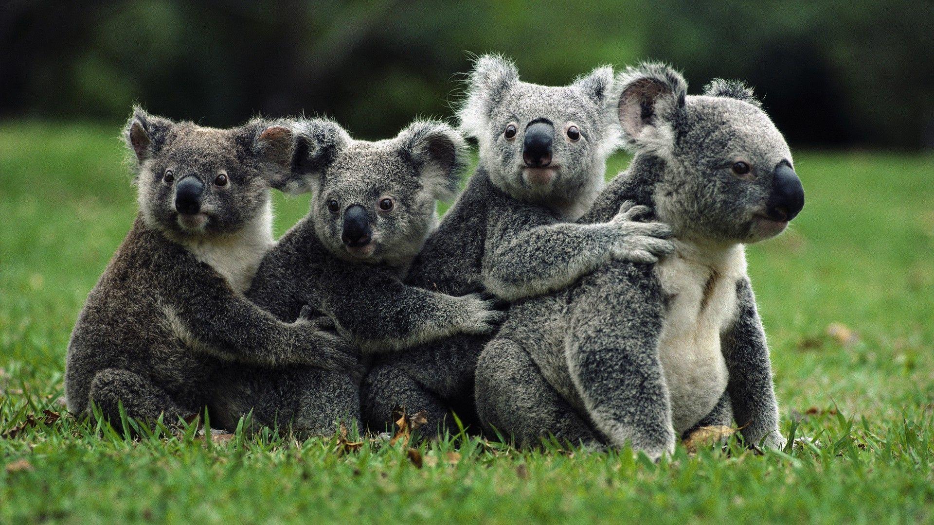 Animals Australia Koala