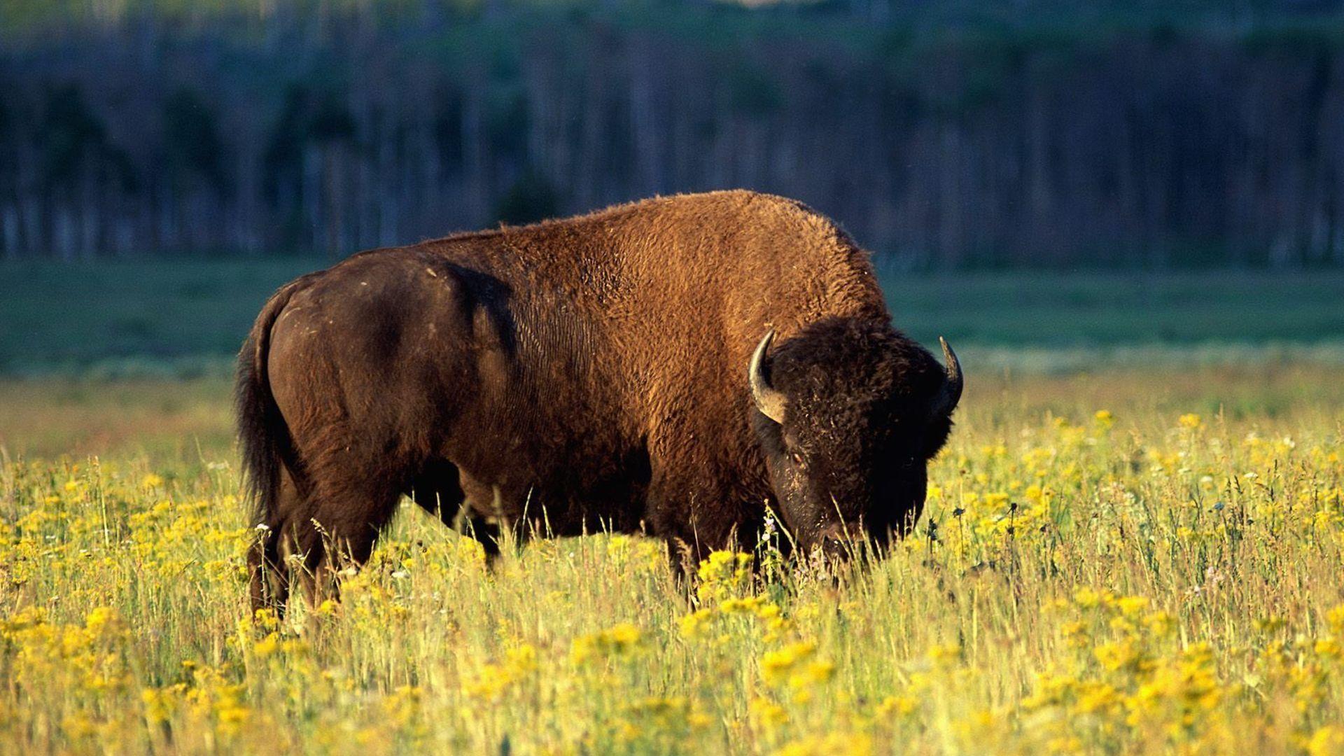 Animals Bison