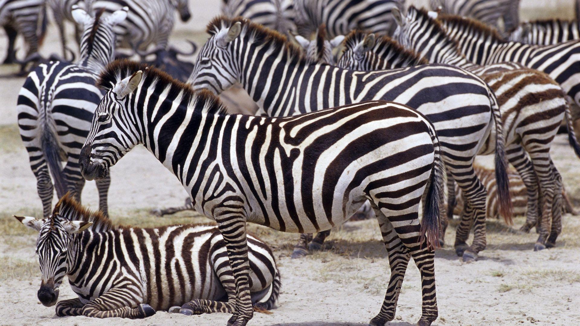 Animals Of Africa Zebra