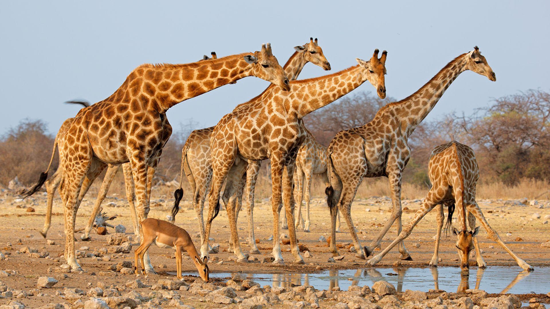 Animals Of Africa Giraffe