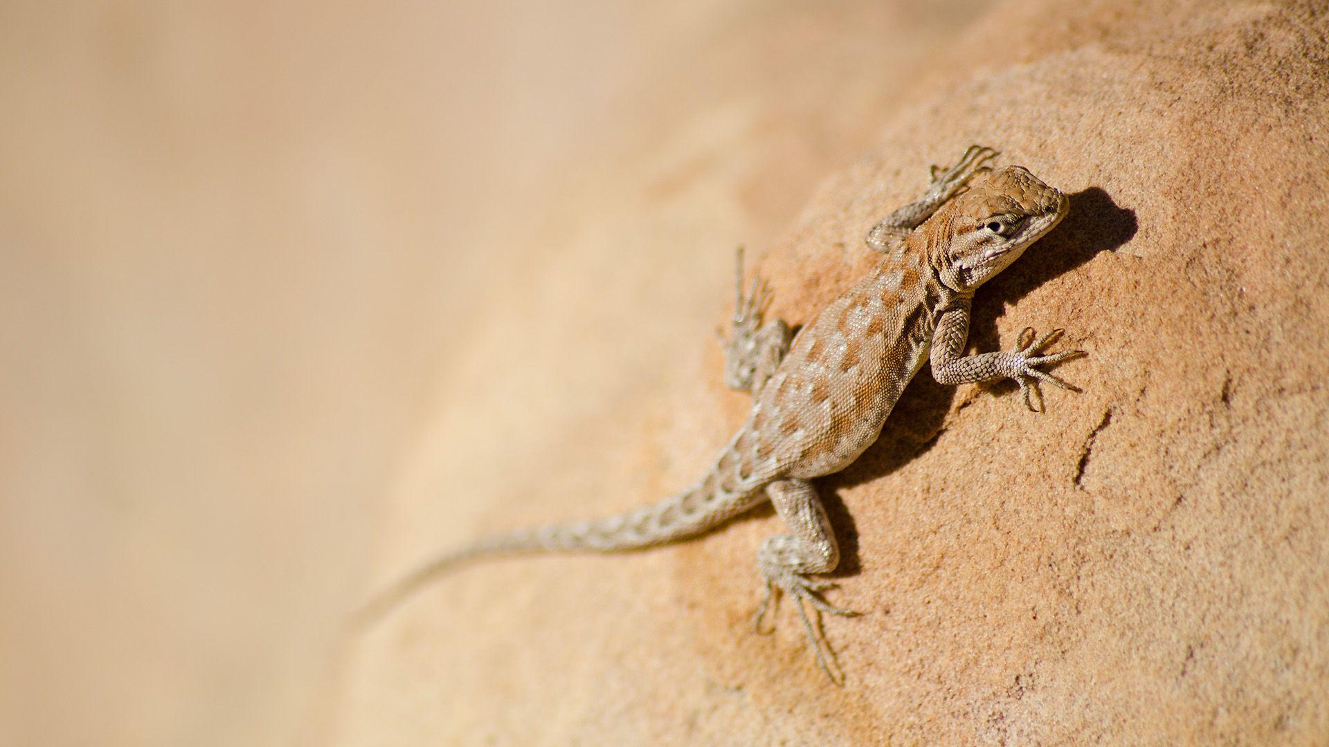 Animals Of The Desert Lizard