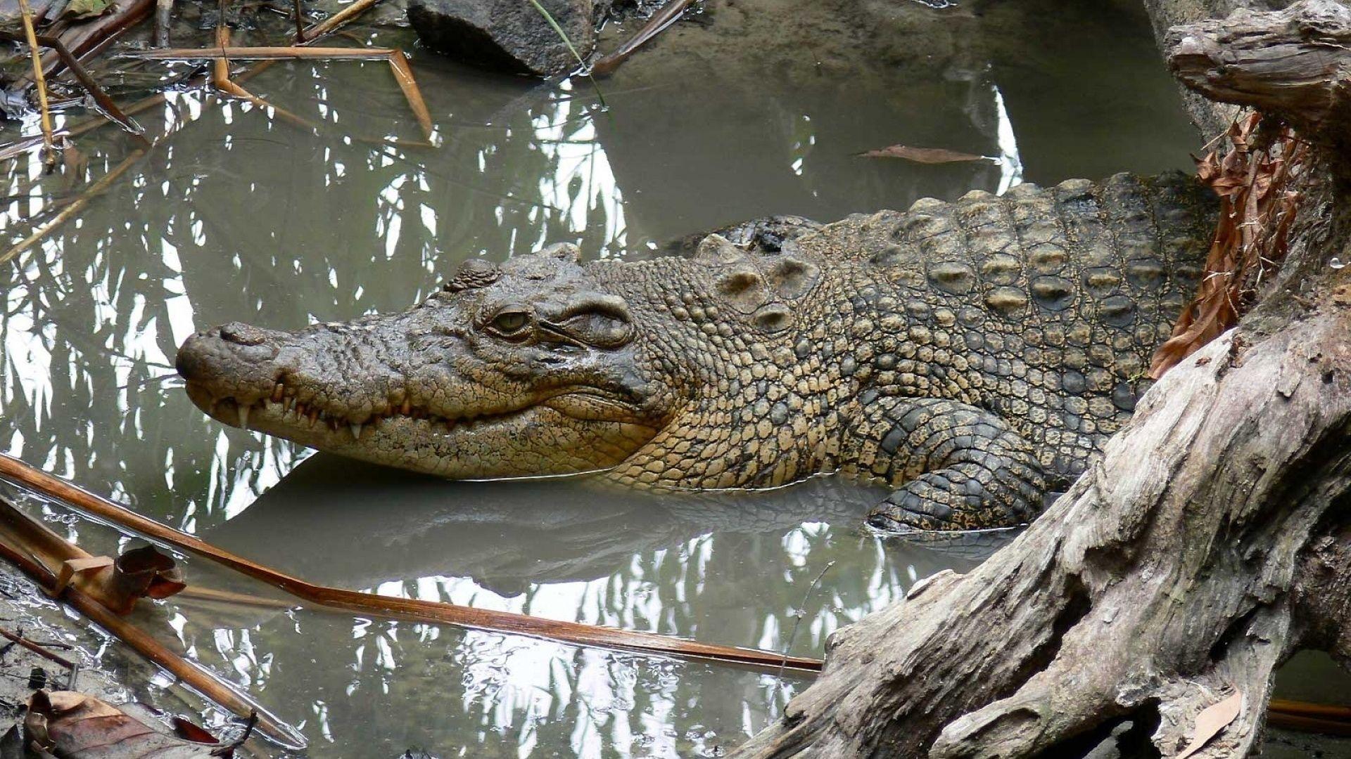Animals Photo Crocodile