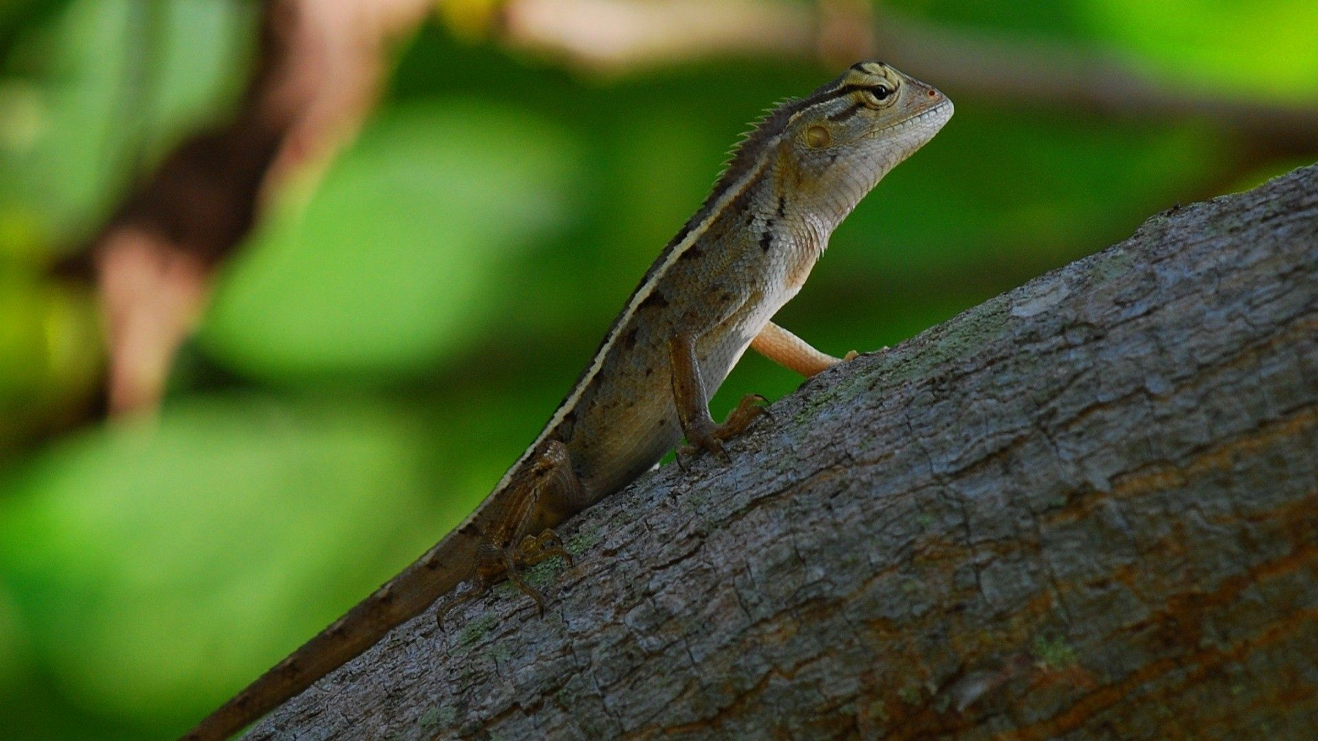 Arboreal Lizards Photos