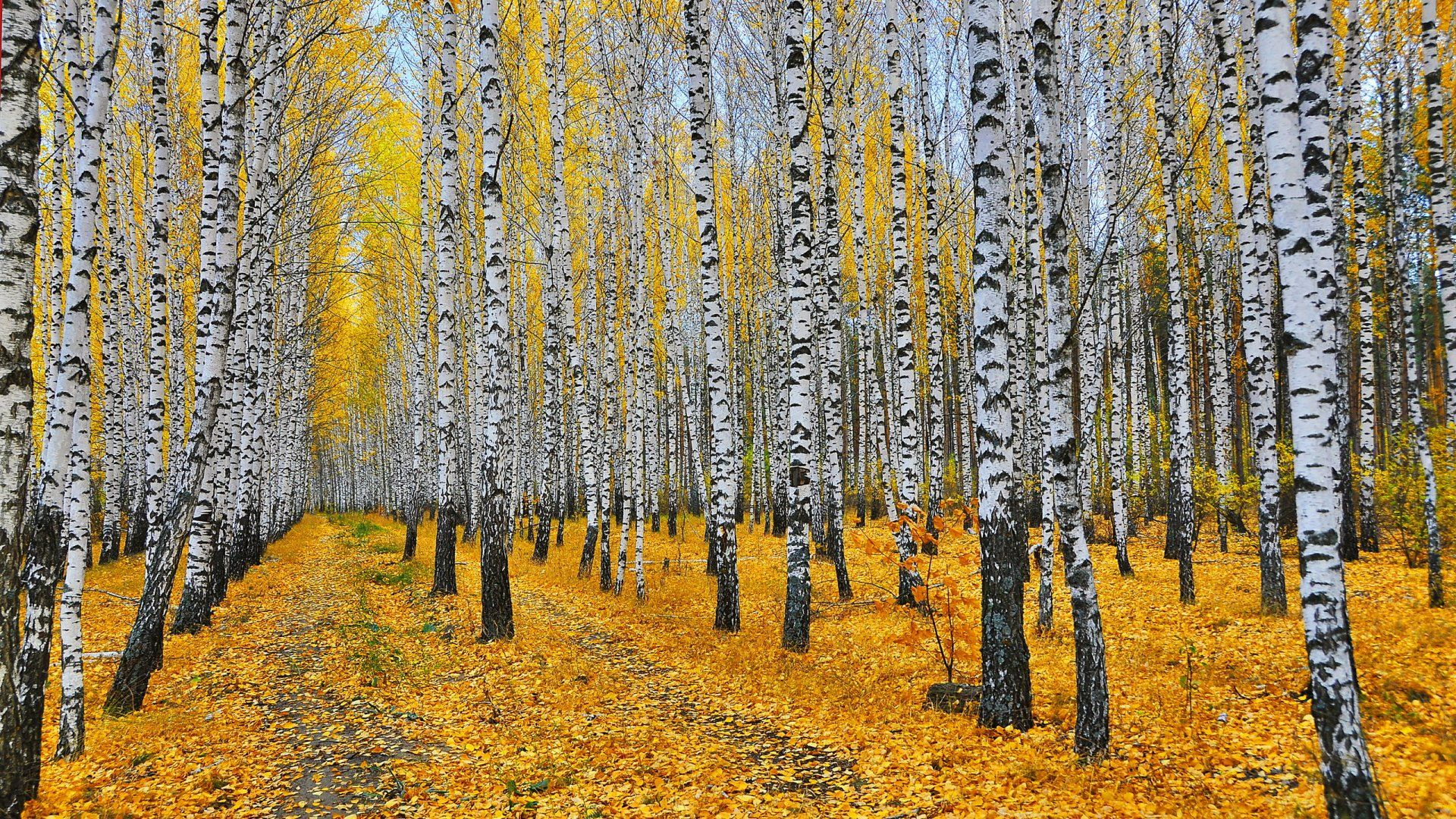 Autumn Birch Forest Photo