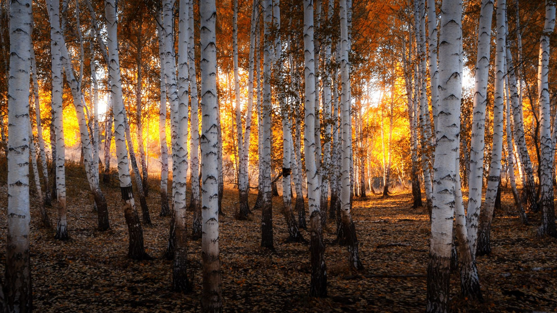 Autumn Birch Photo