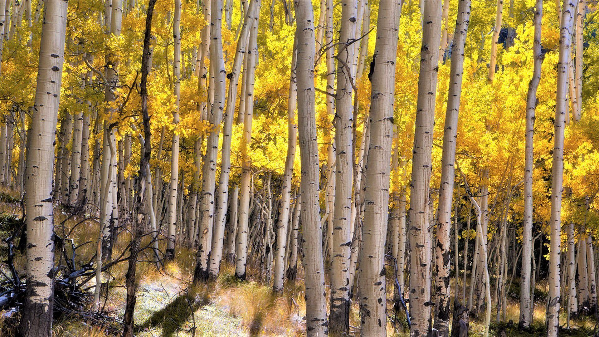 Autumn In A Birch Grove Wallpaper