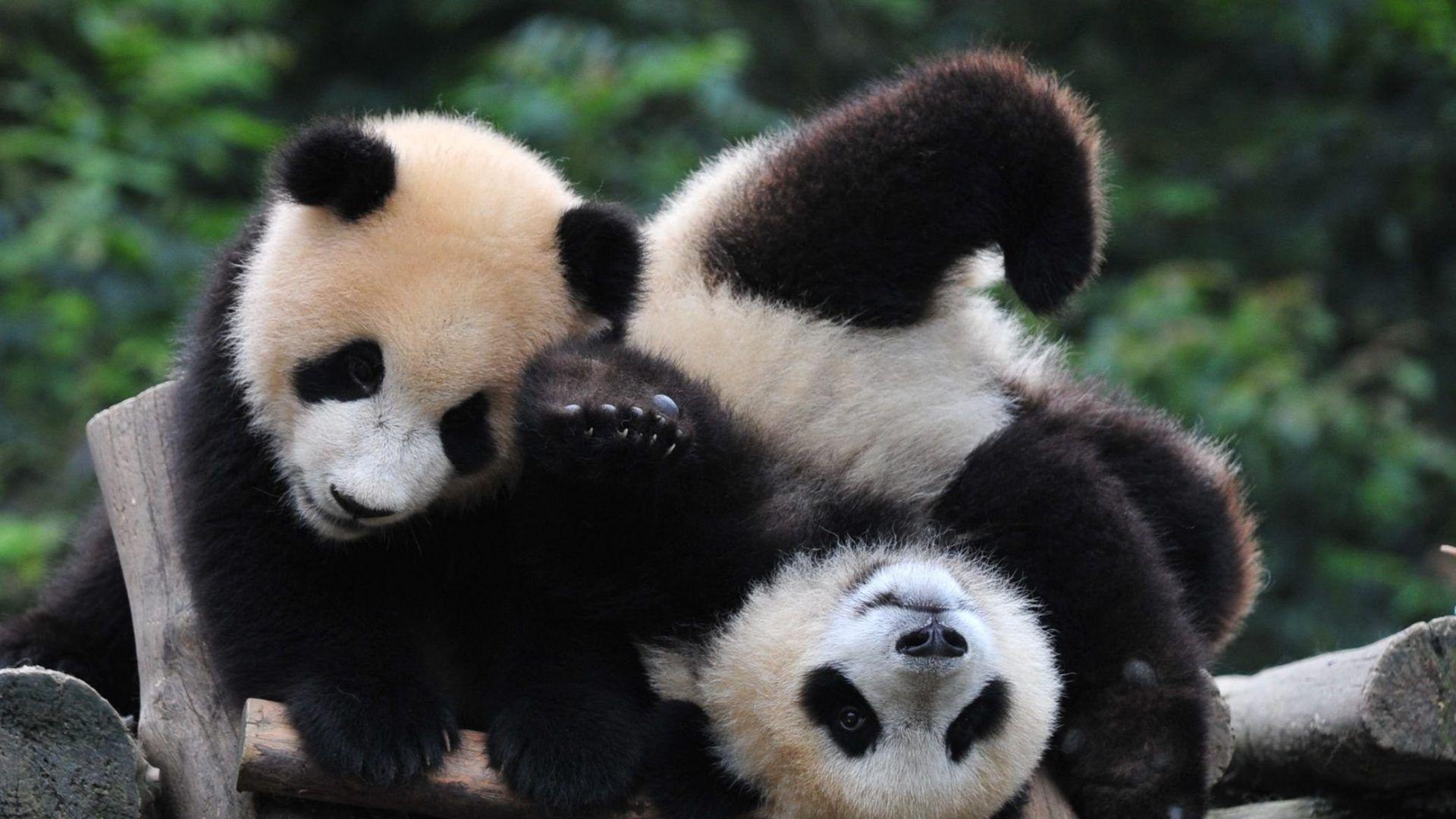 Baby Bear Panda