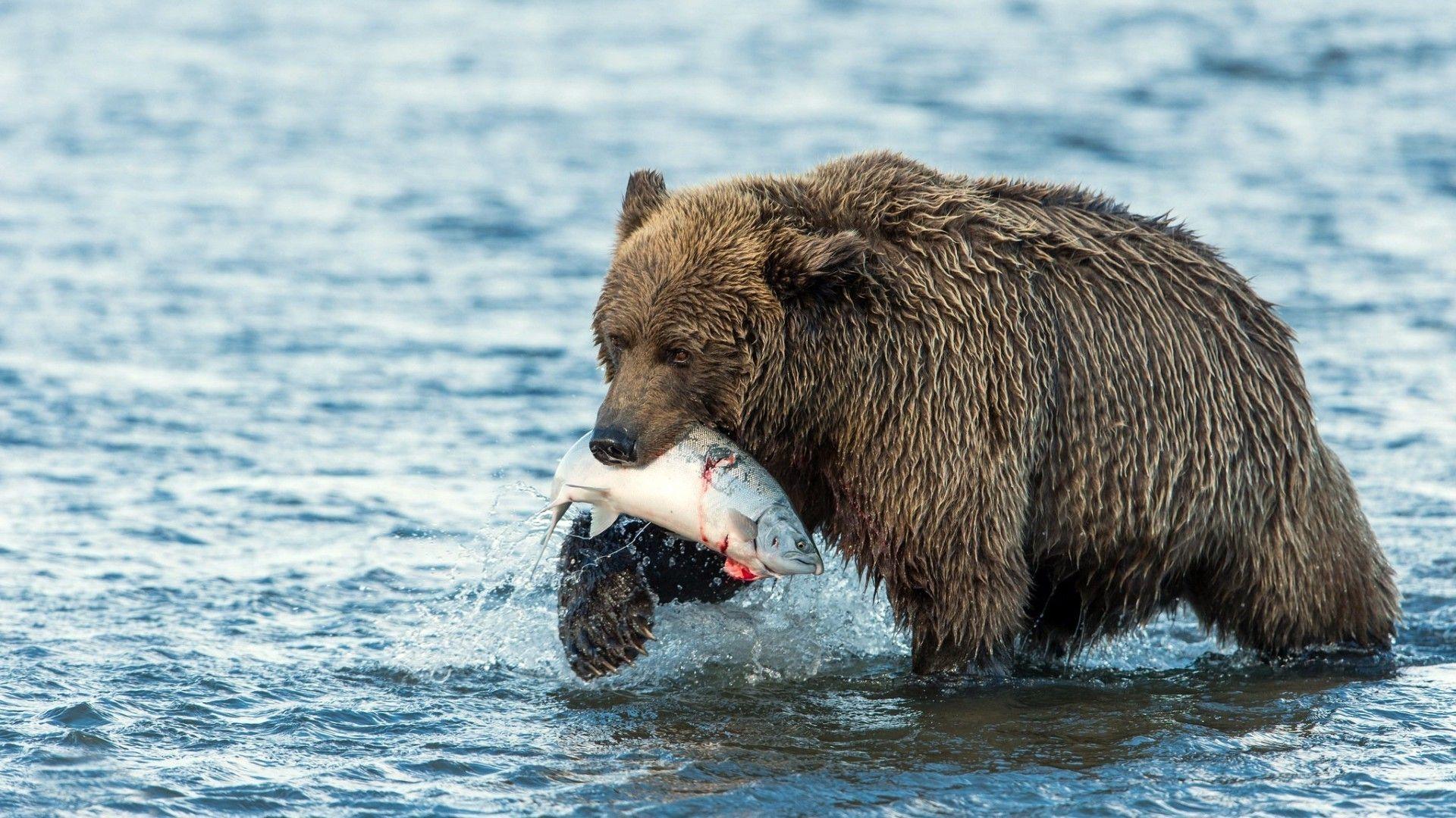 Bear Eating Fish Photos