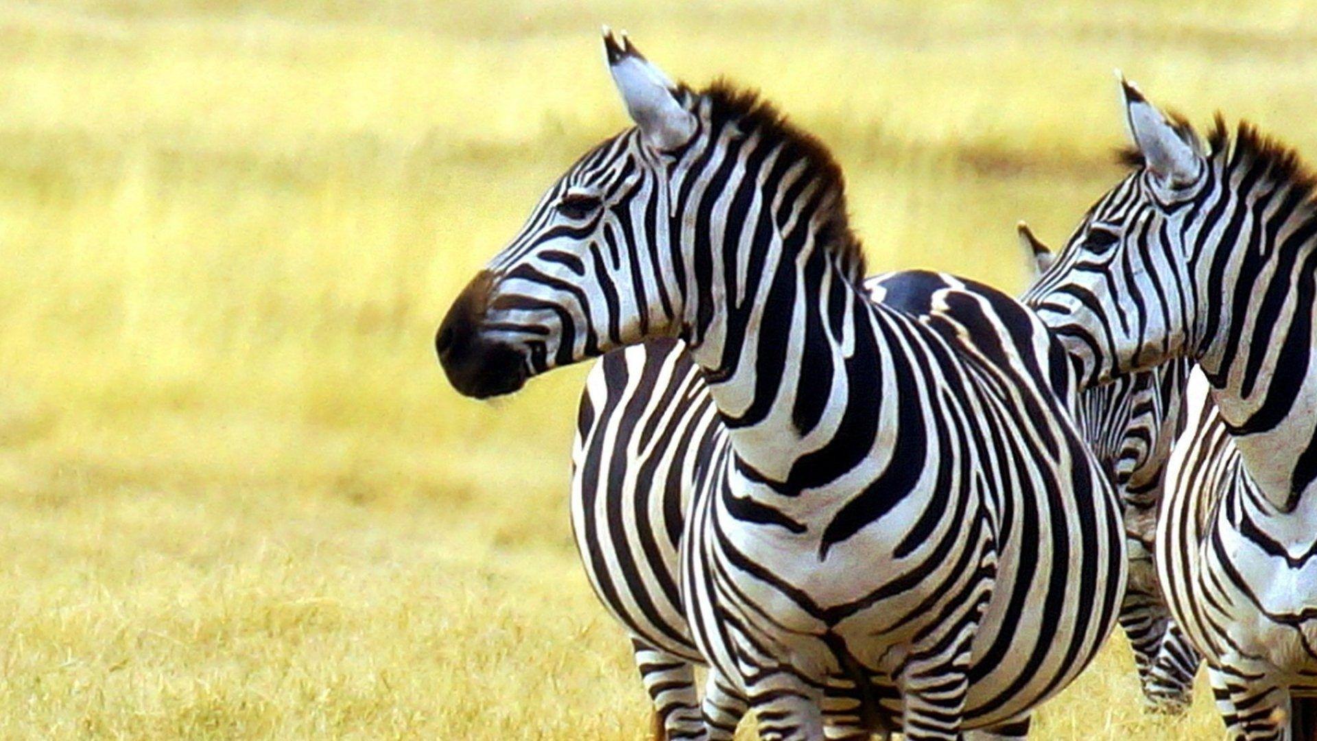 Beautiful Wallpapers Zebra