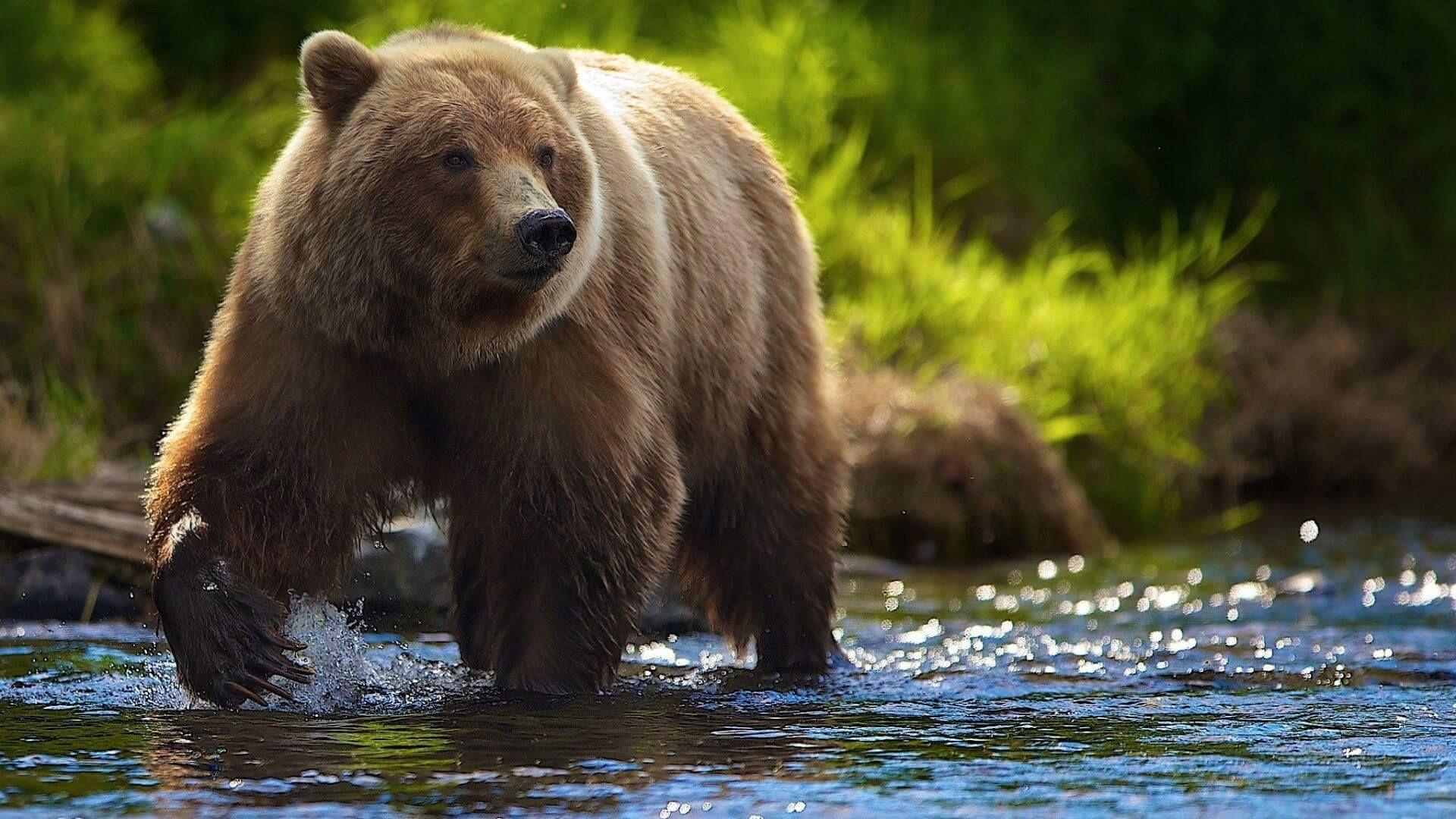 Beautiful Brown Bear