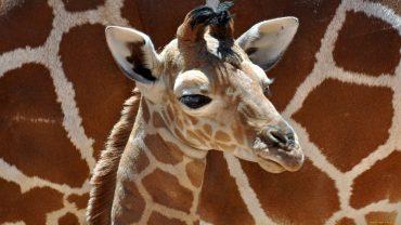 Beautiful Giraffe Pictures