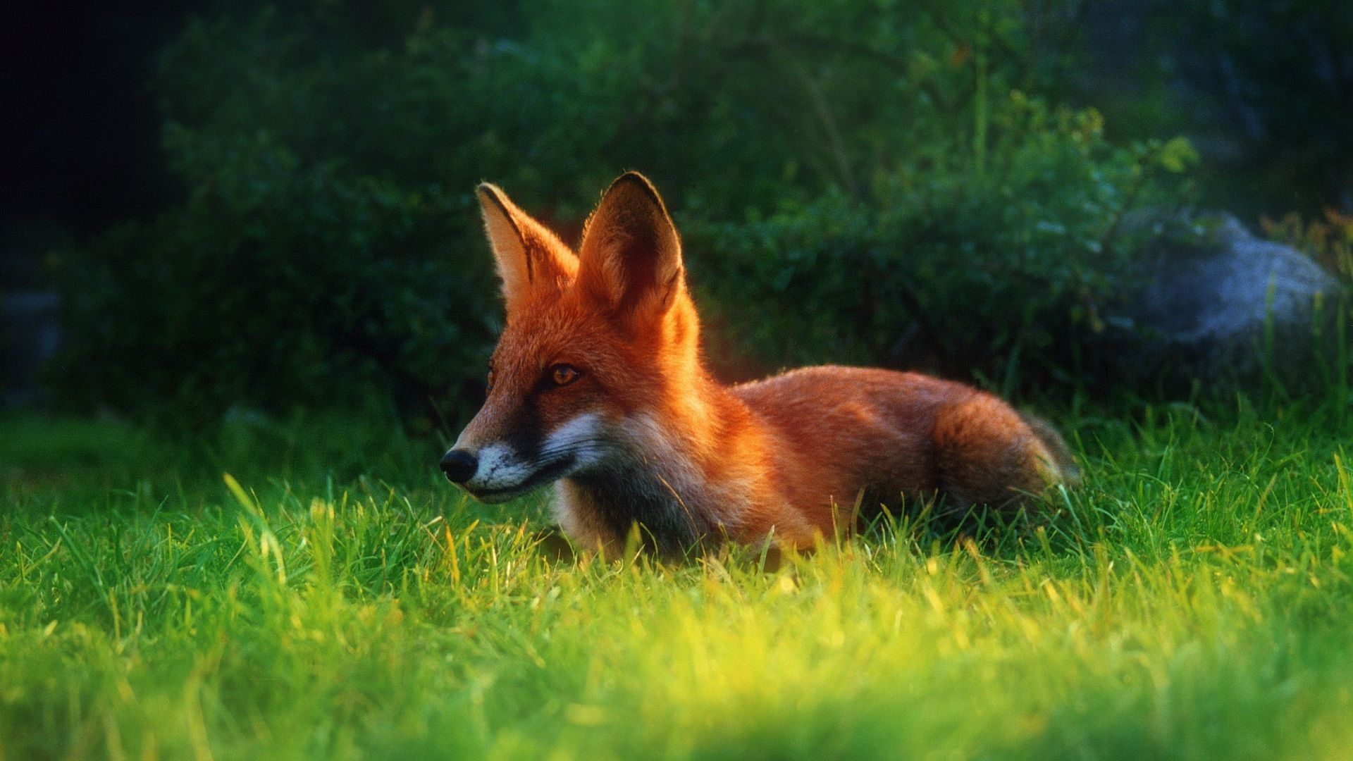 41 Red Fox Wallpapers Wallpaperboat