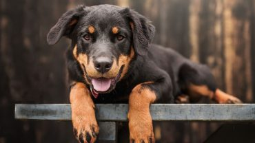 Beautiful Pictures With Animals Rotweiler