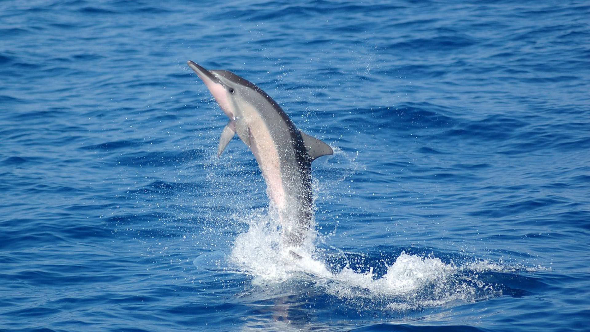 Belobochka Dolphin Black Sea
