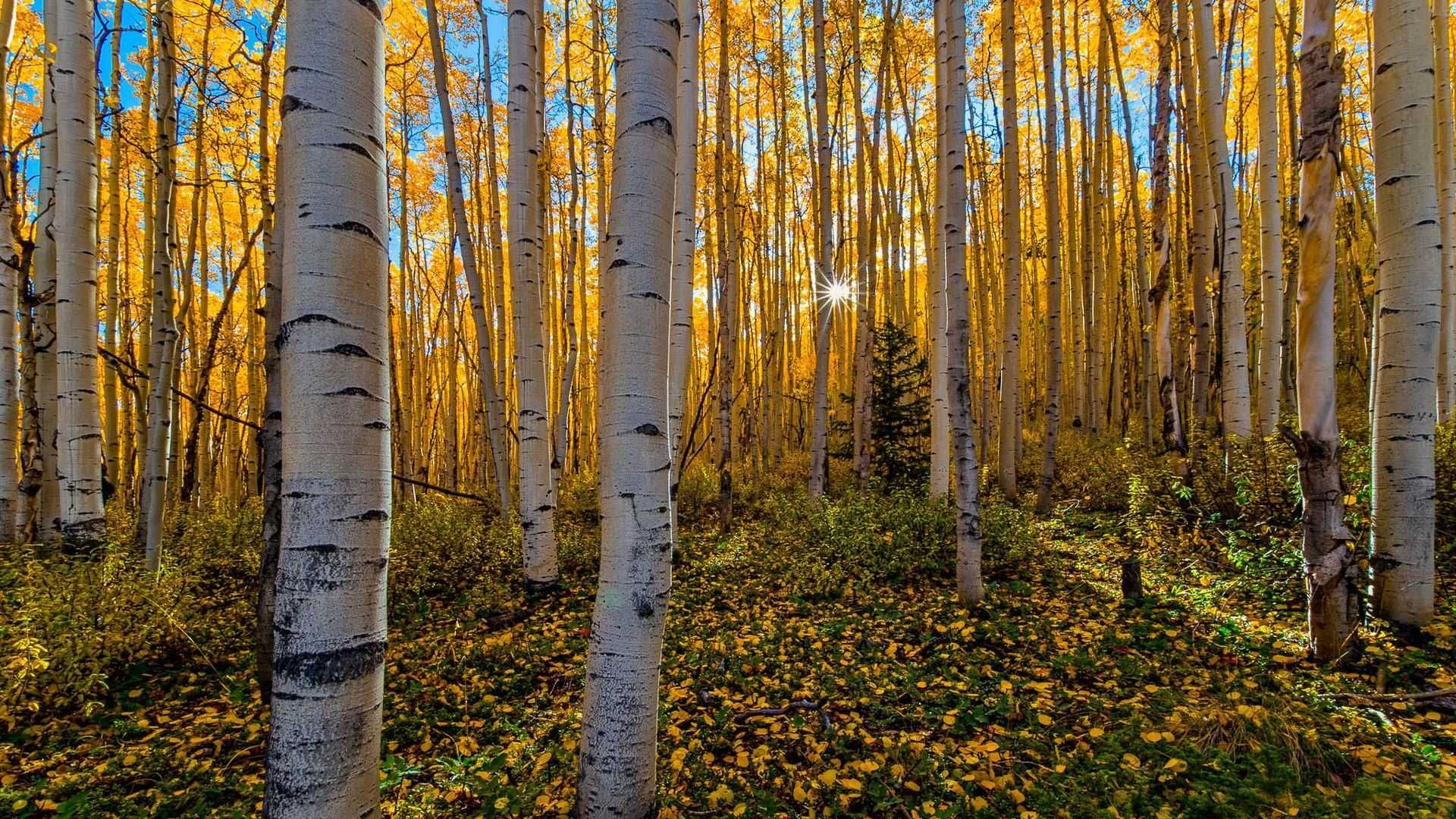 Birch Forest Pictures