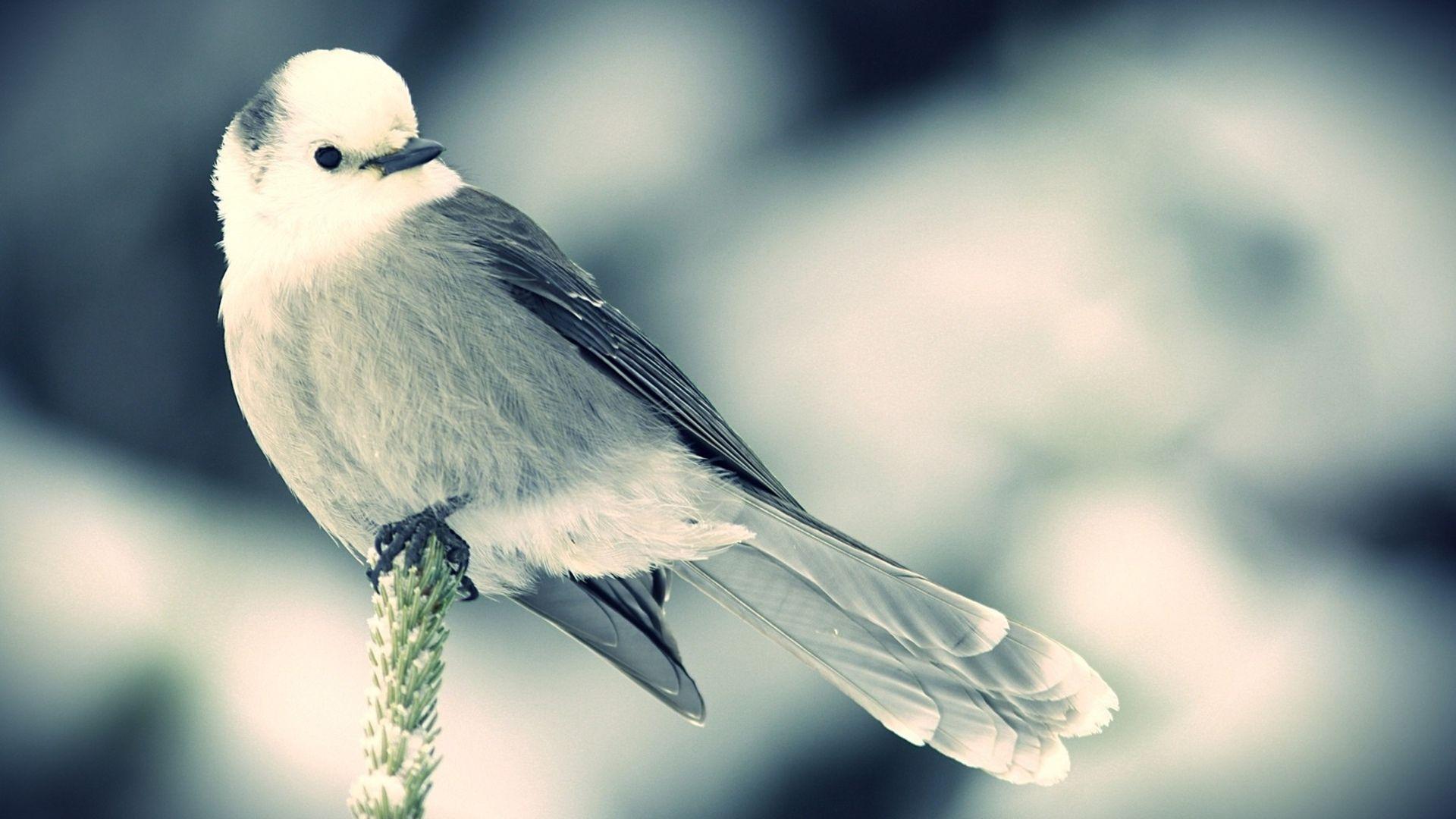 Bird Polovnik Photo