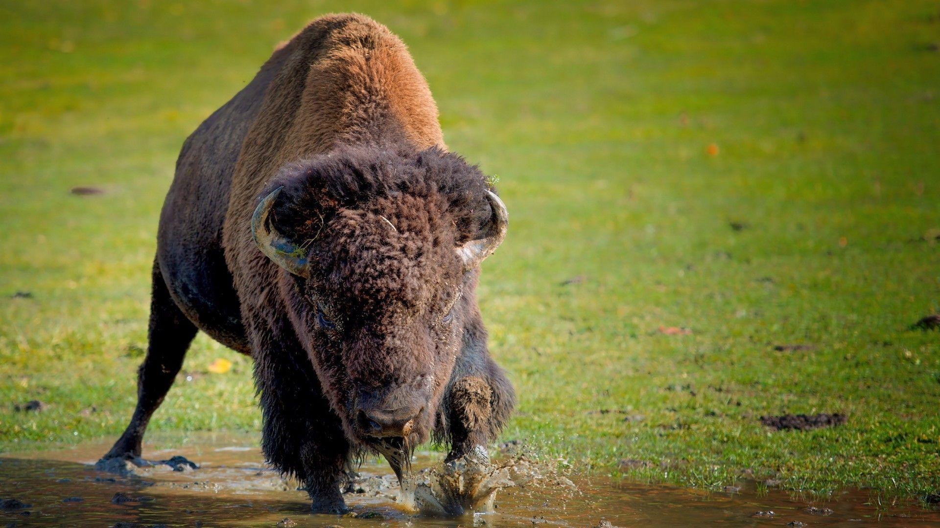 Bison And Buffalo