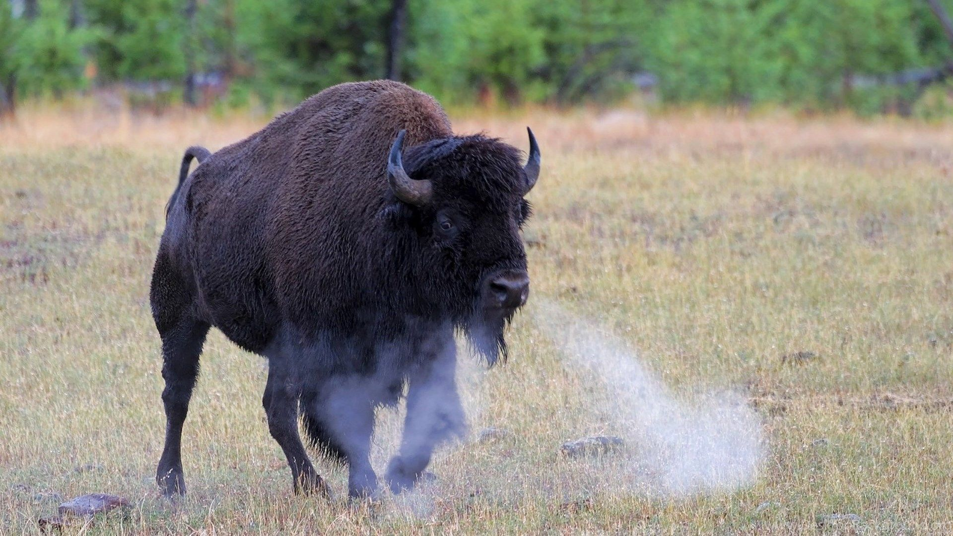 Bison Animal Photos