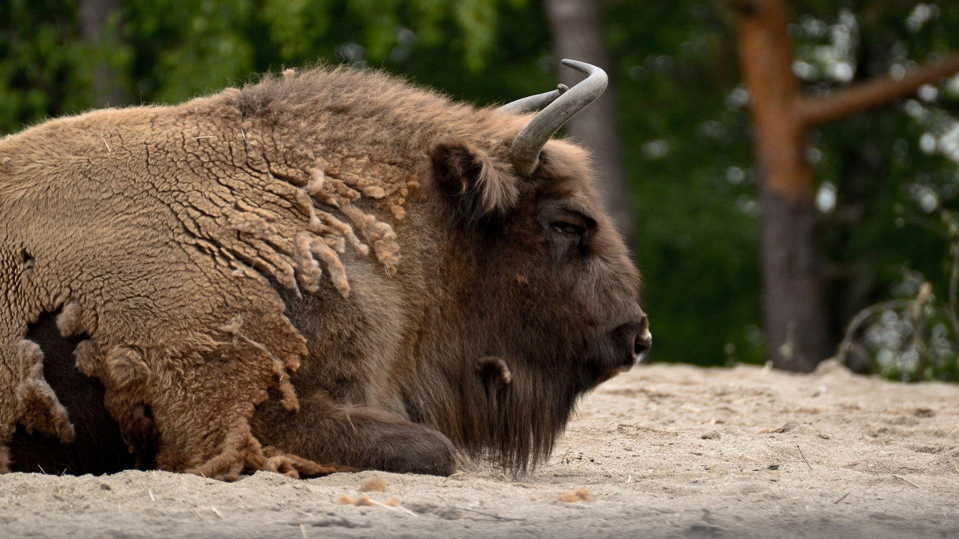 Bison Animal Photos
