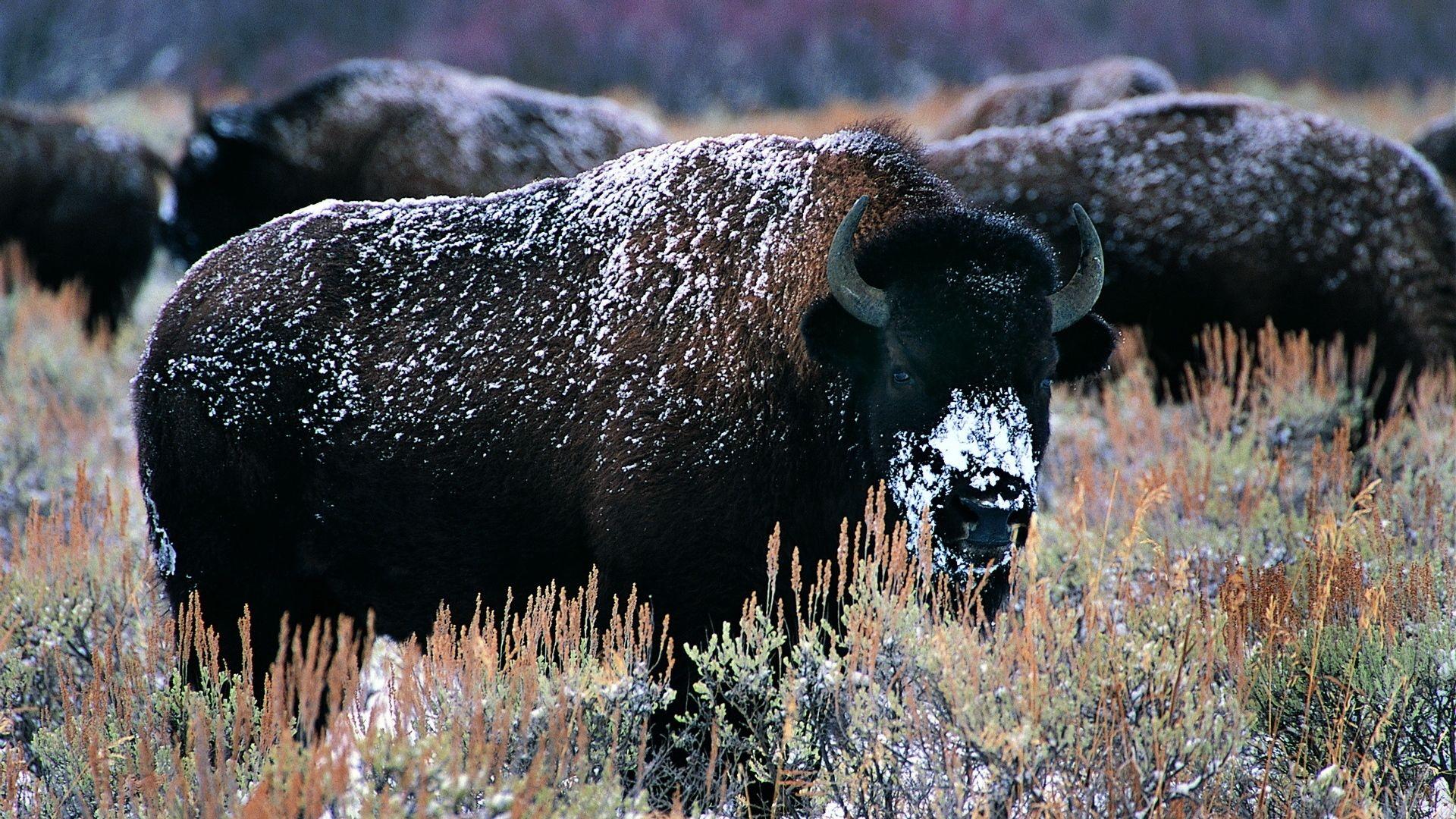 Bison Buffalo