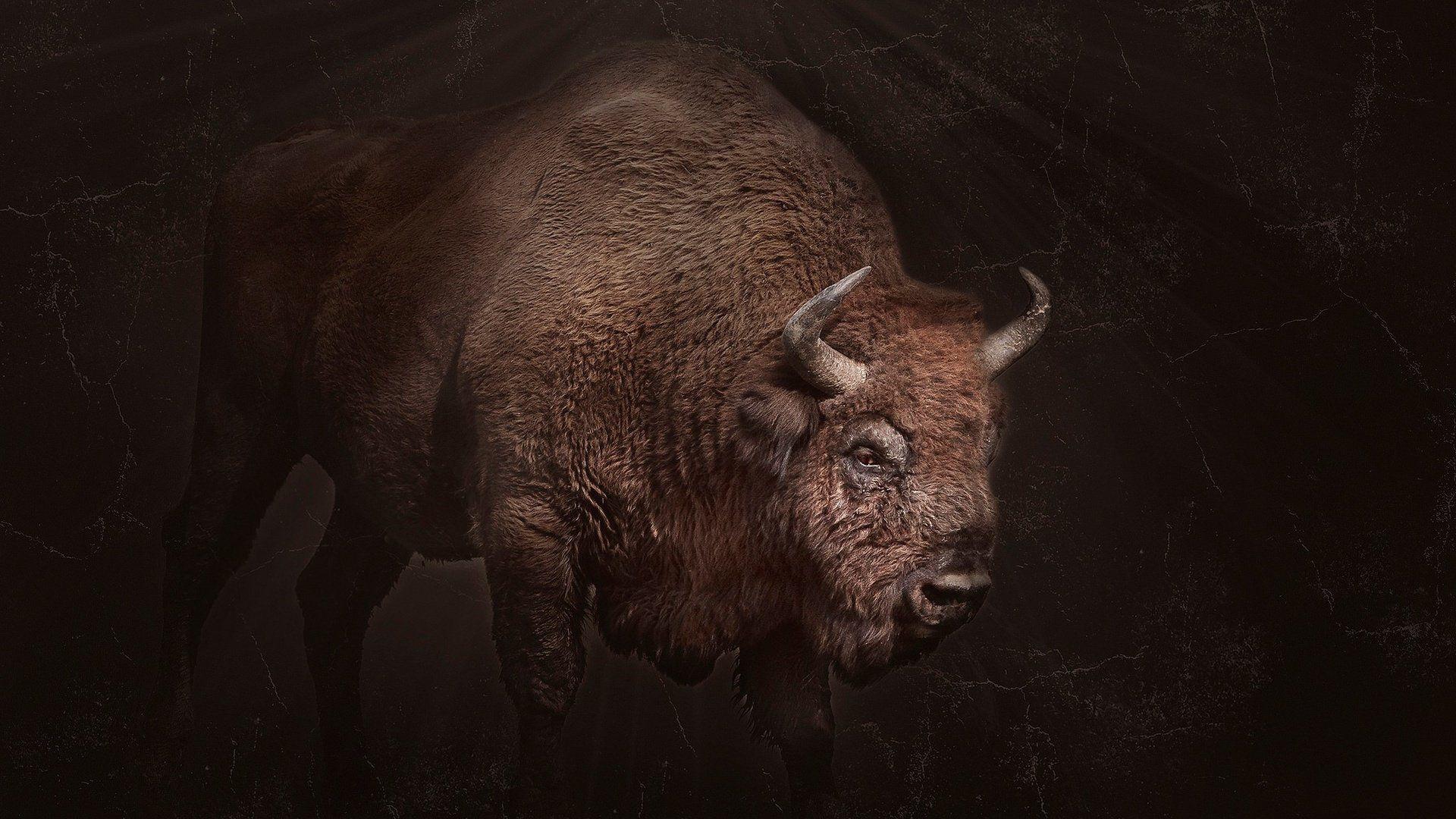 Bison Hd Photo