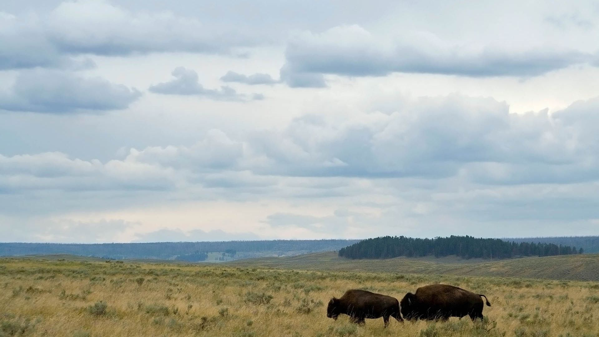 Bison In The Desert Pictures