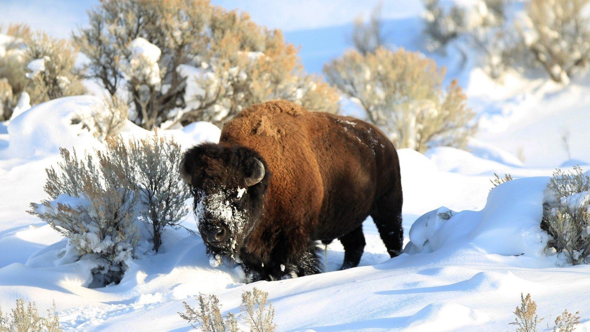 Bison Winter Wallpaper