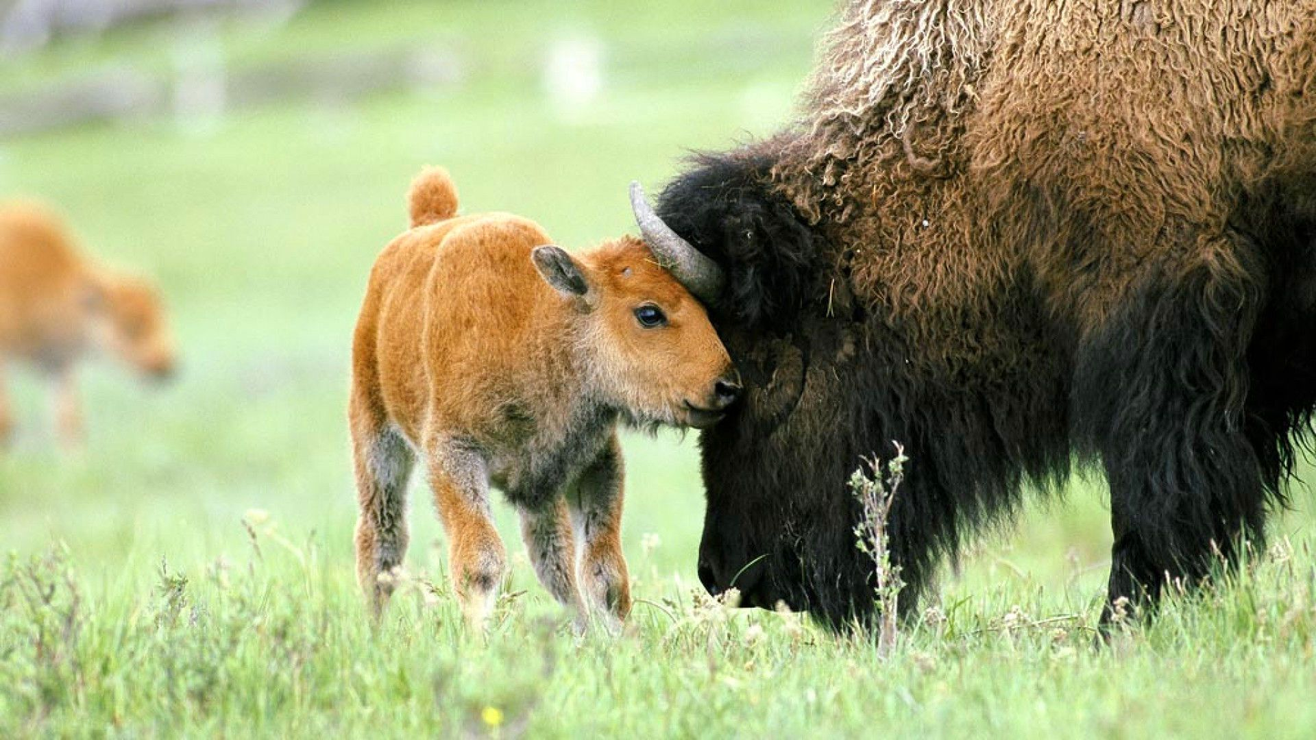 Bison With Baby Photos